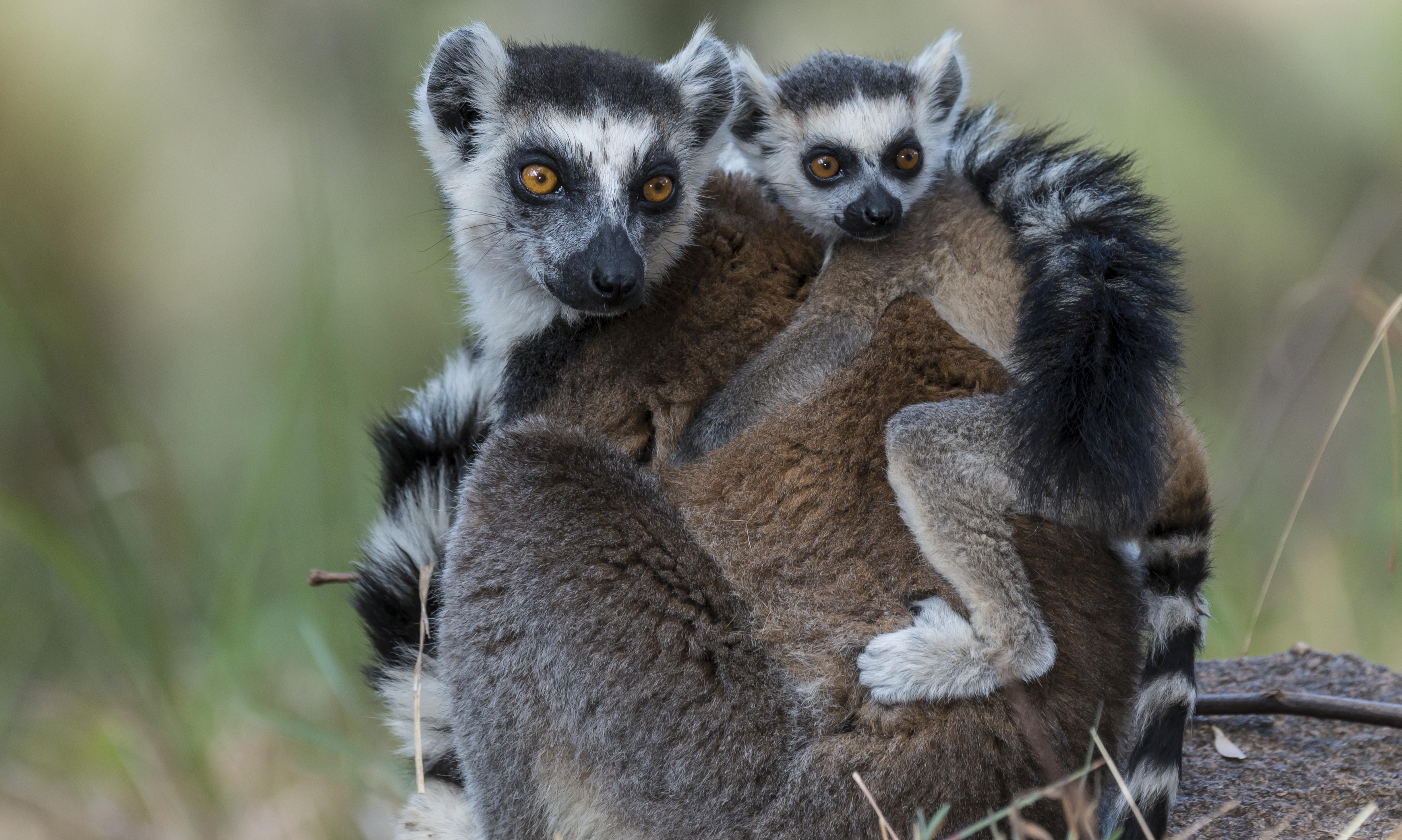 World Lemur Day – a photo essay by Bristol Zoological Society