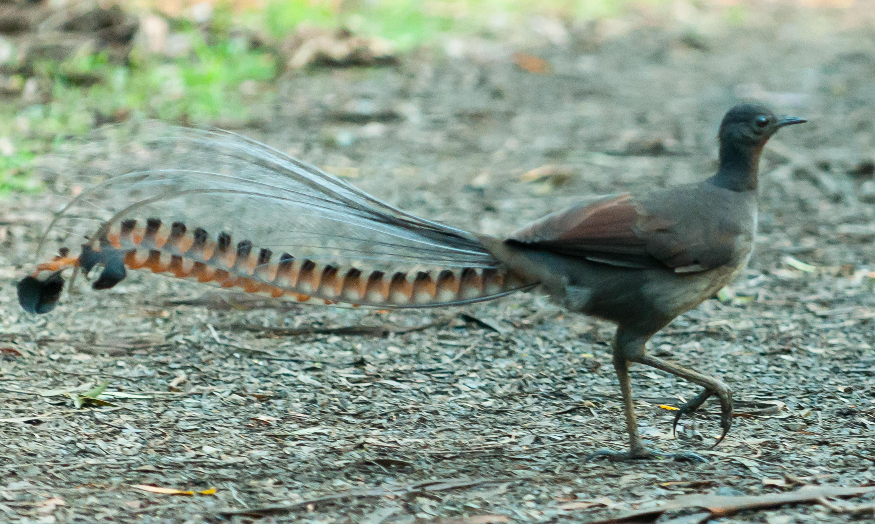 Lyrebird may join threatened species, as scale of bird habitat lost to bushfires emerges