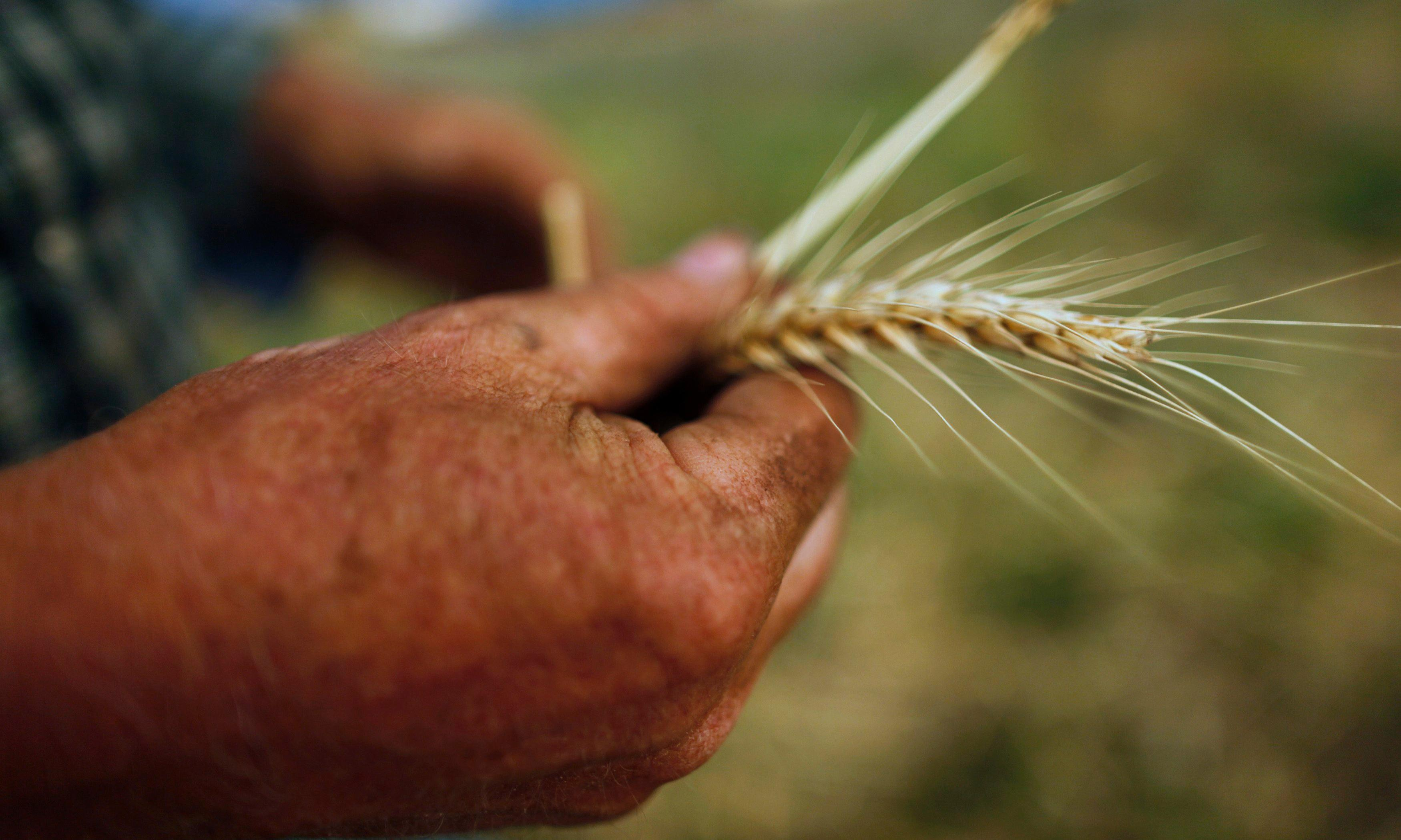 Australia to import wheat for first time in 12 years as drought eats into grain production