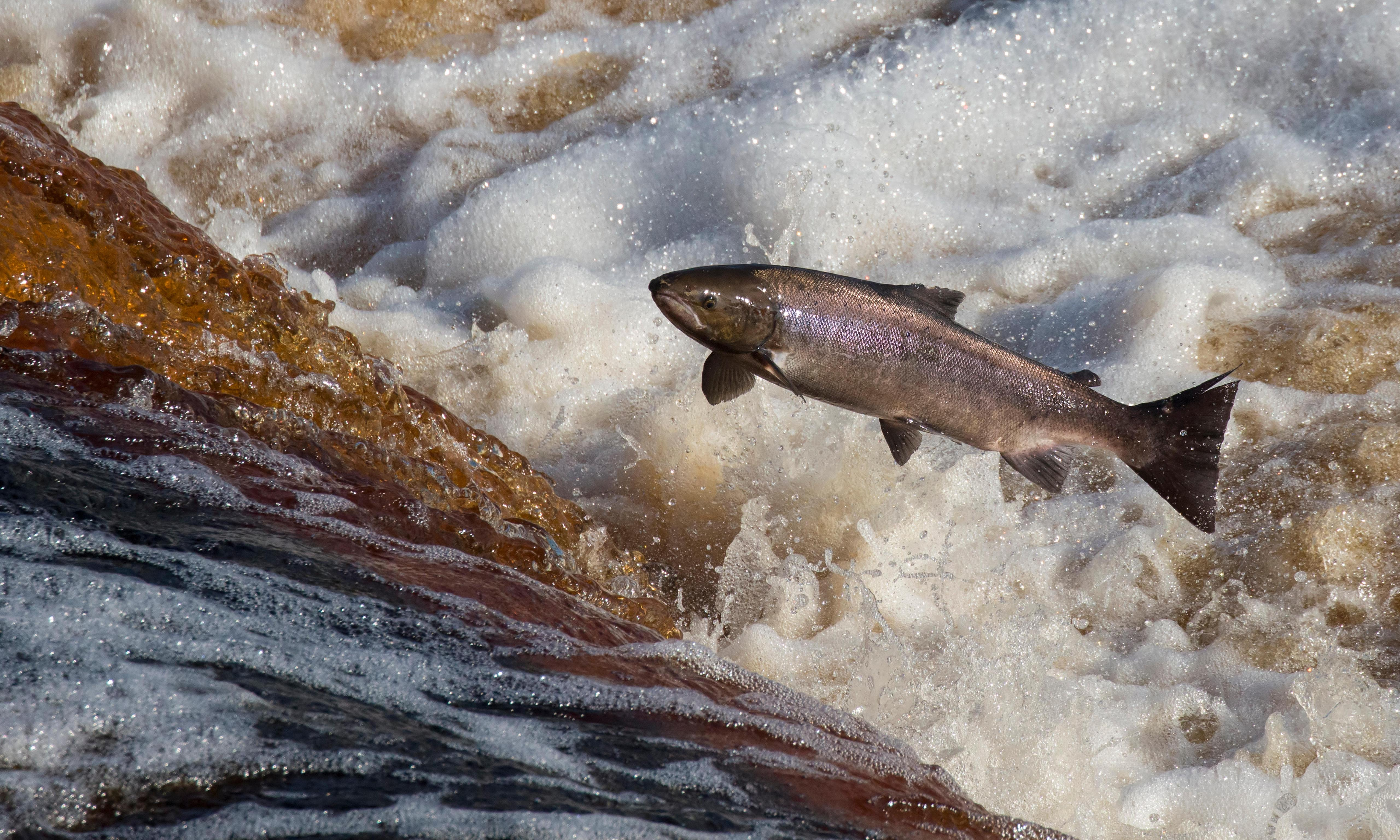 Country diary: homecoming salmon leap to attention