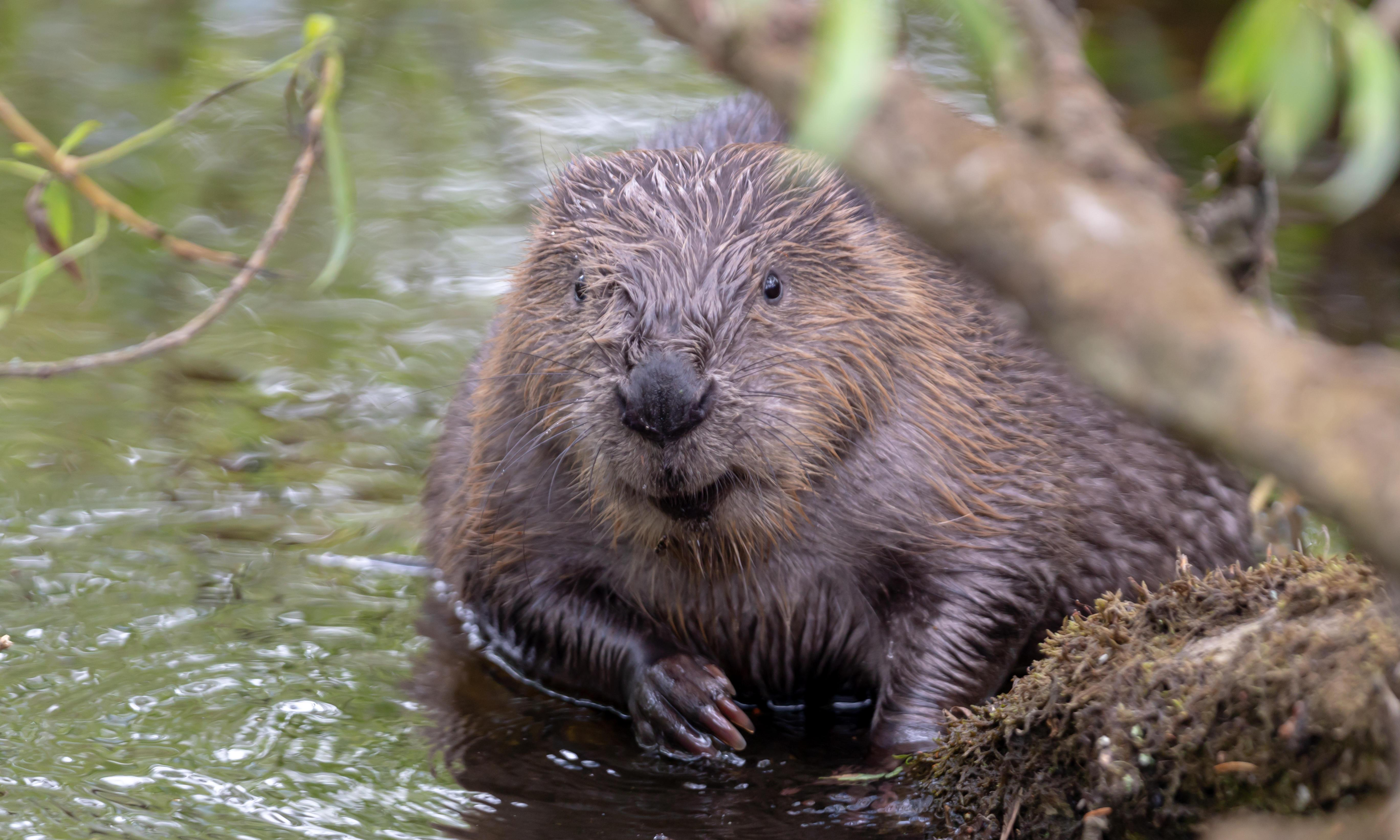 Beavers to be released in plan to ease flooding and aid biodiversity