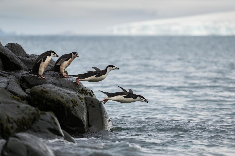 Chinstrap penguins diving into the ocean.