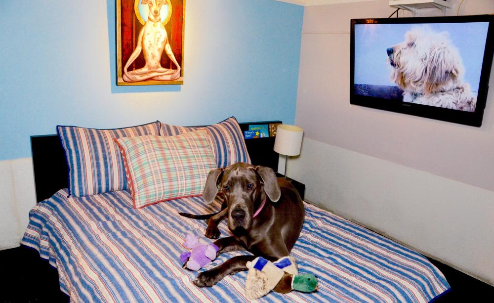Luna the great dane luxuriates in the Uber suite with sleep toys.