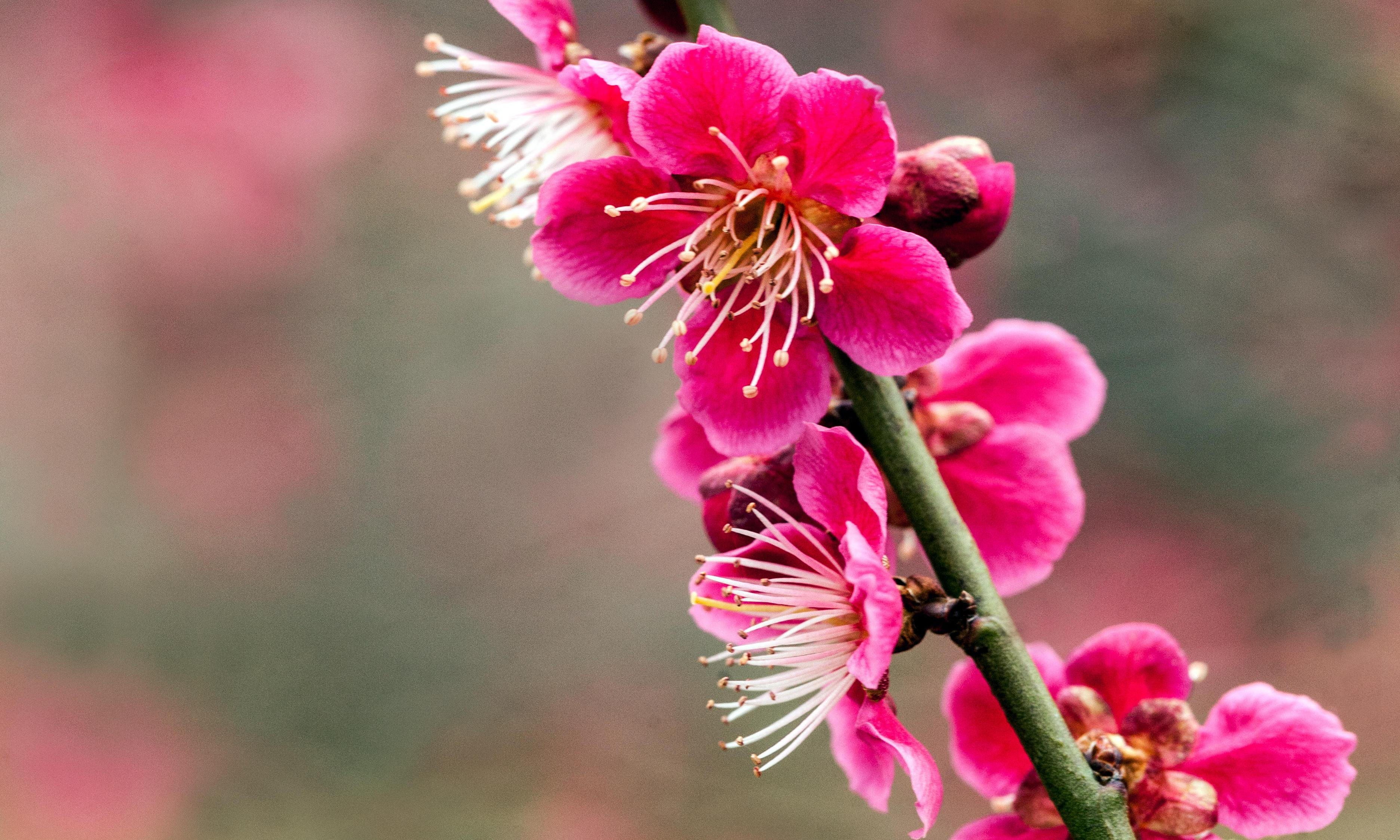 Gardening tips: plant a Japanese apricot