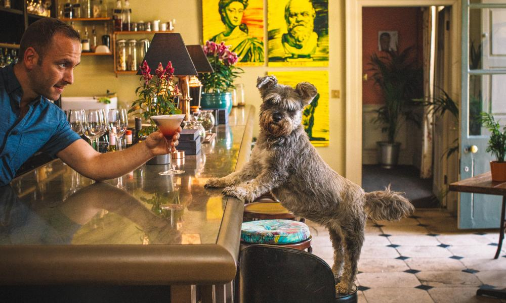 Miniature schnauzer Pepper with his back paws on a bar stool, his front paws on the bar, as a barman hands him a cocktail