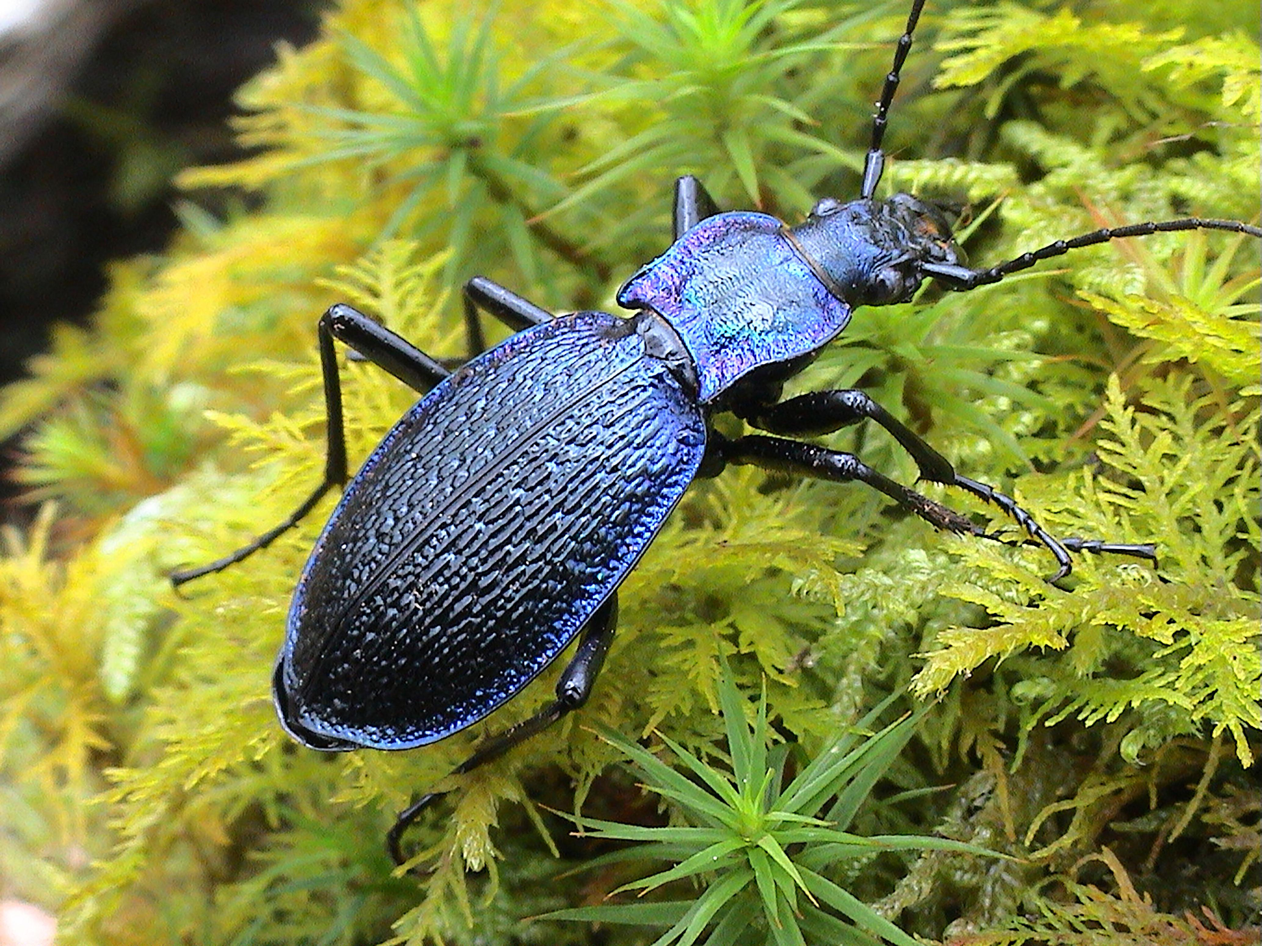 Country diary: best look up if you want to see a blue ground beetle