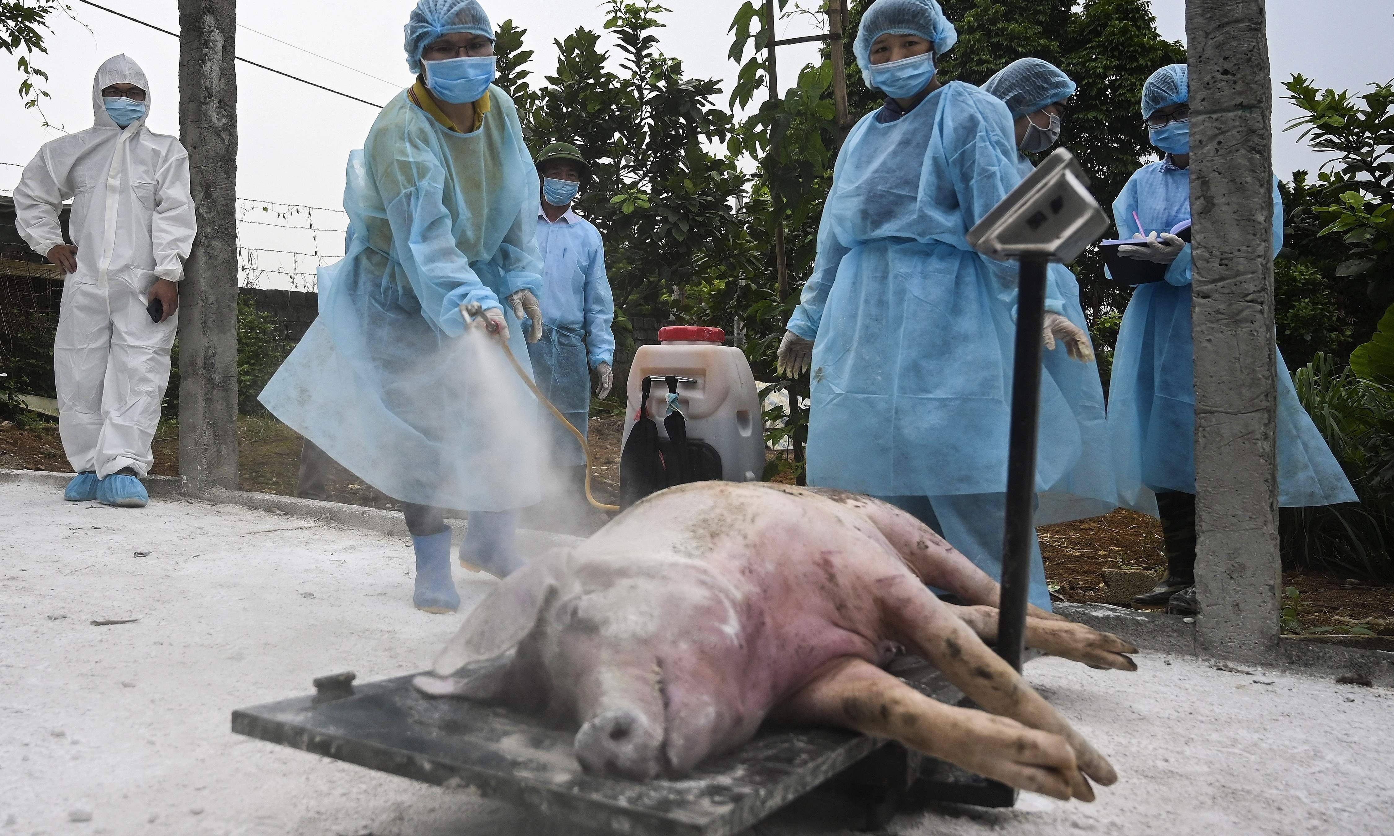 'No way to stop it': millions of pigs culled across Asia as swine fever spreads