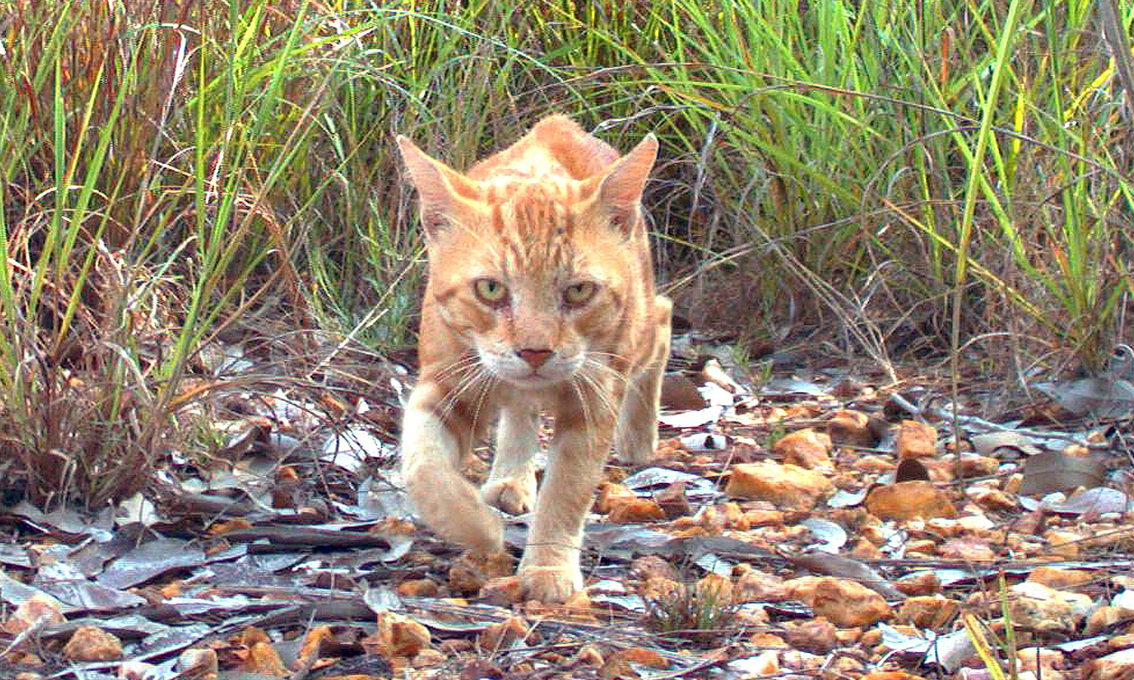 Parasitic disease spread by feral cats likely to be killing native wildlife