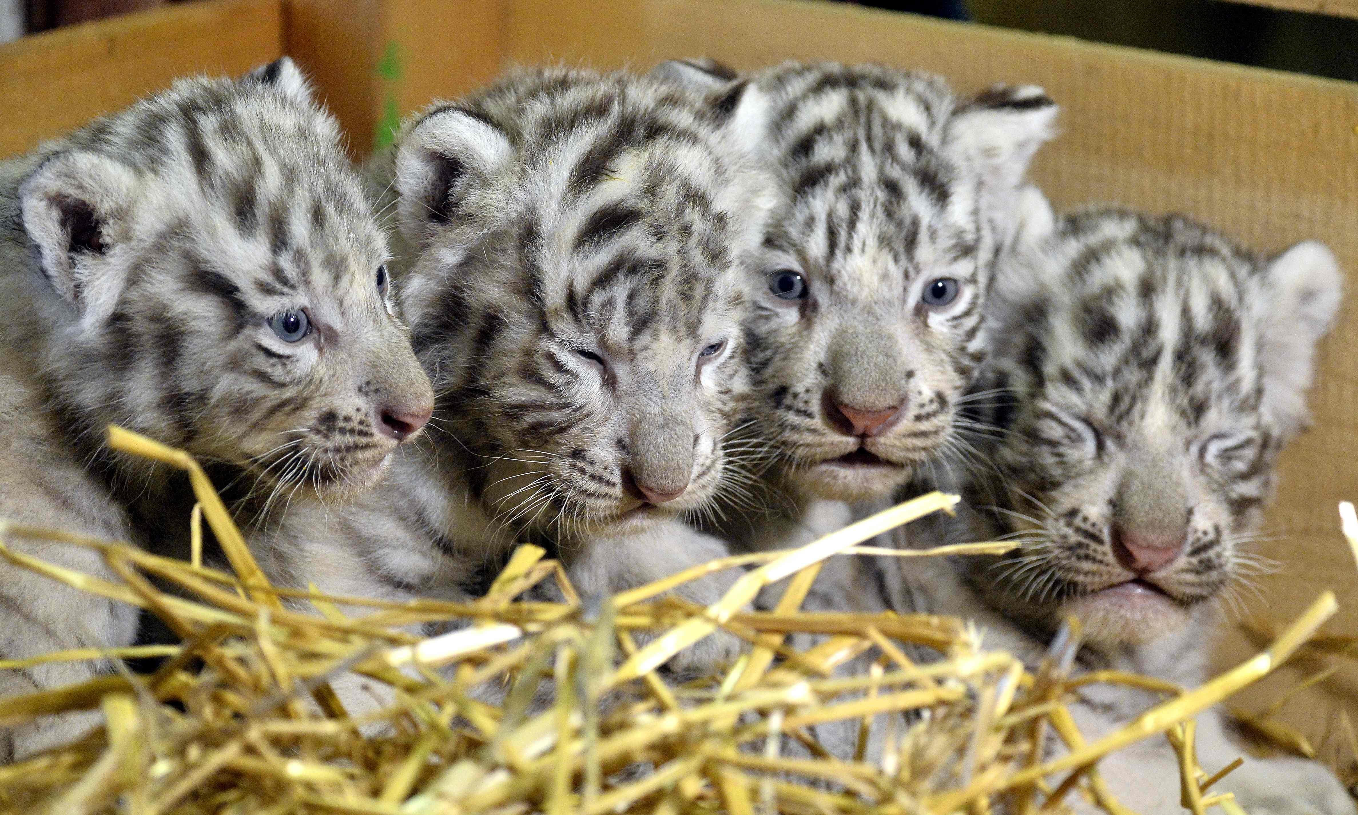 White tiger cubs maul keeper to death in India
