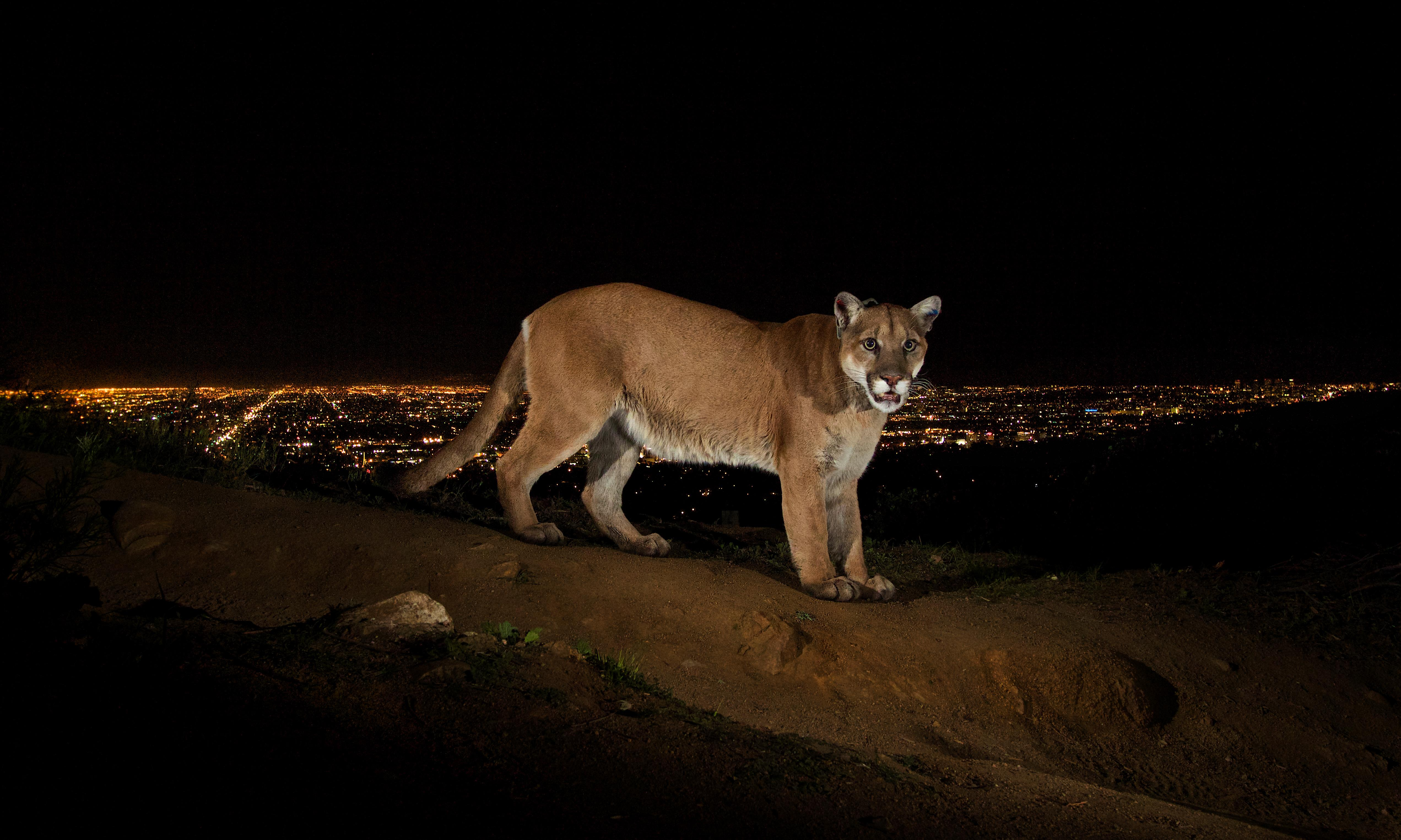 Can there be a Hollywood ending for the 'Brad Pitt of mountain lions'?