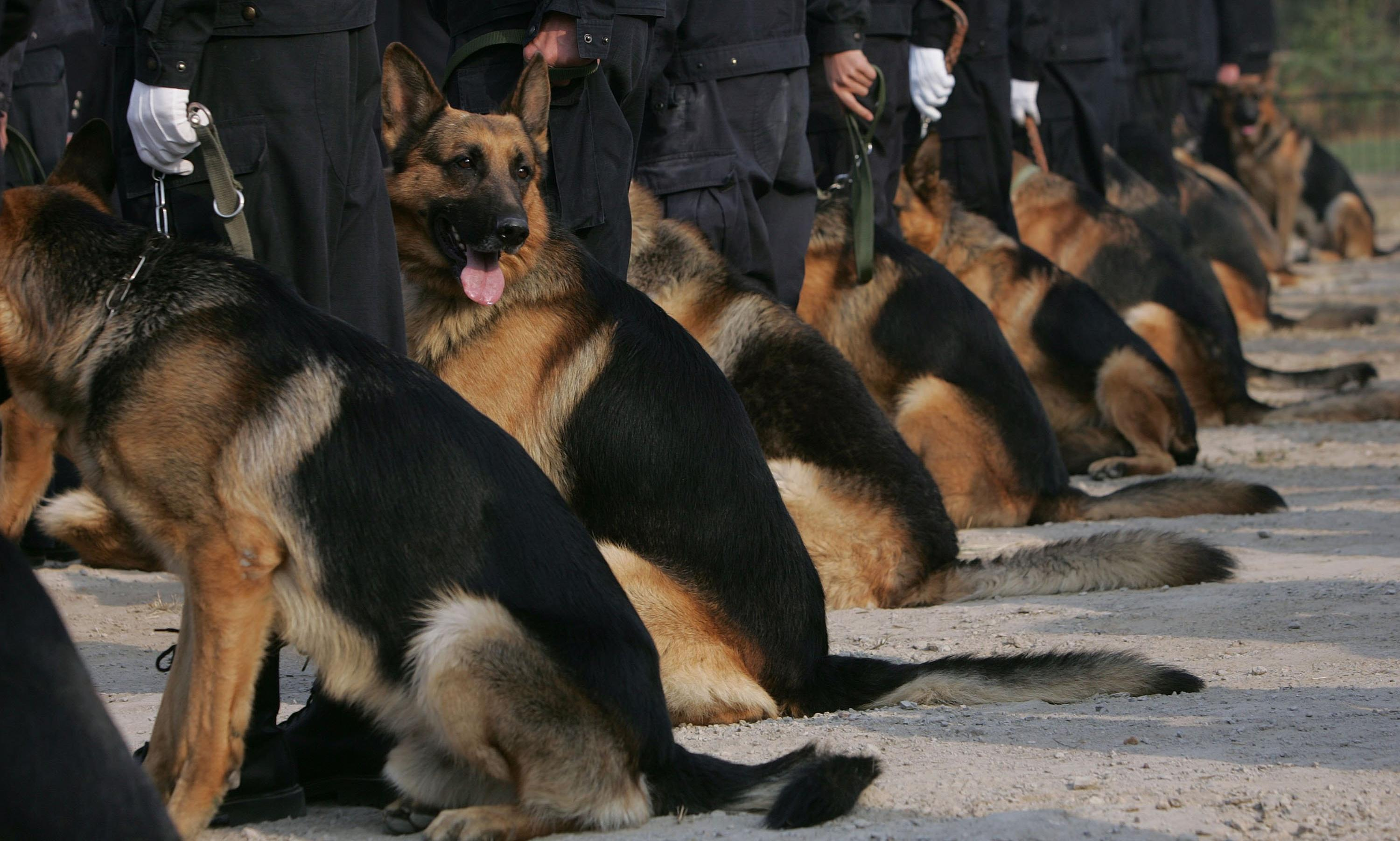 China clones 'Sherlock Holmes' police dog to cut training times – report
