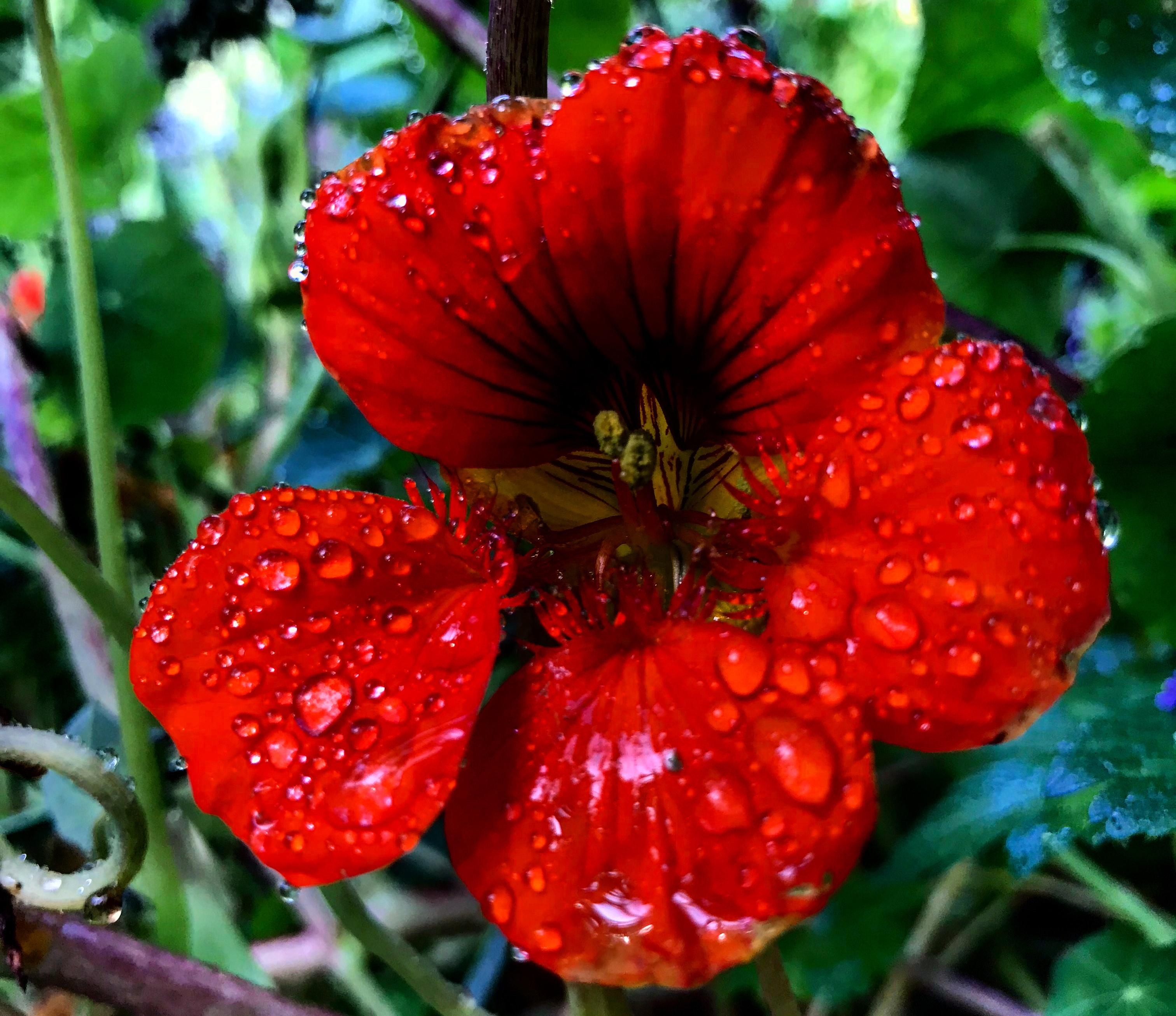 The last nasturtiums hold the key to spring planting