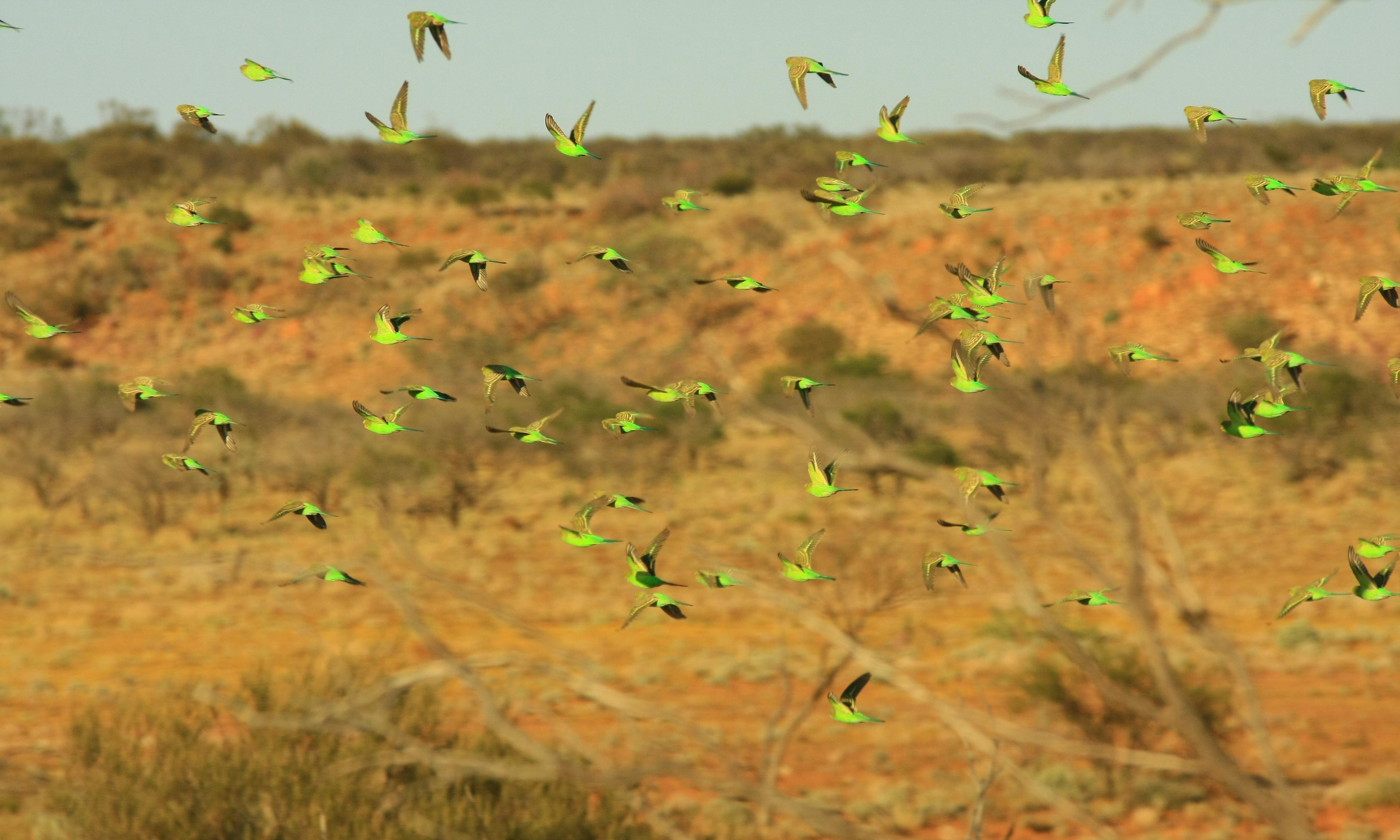 Flying green gems of the outback: budgies are Australia's most misunderstood birds