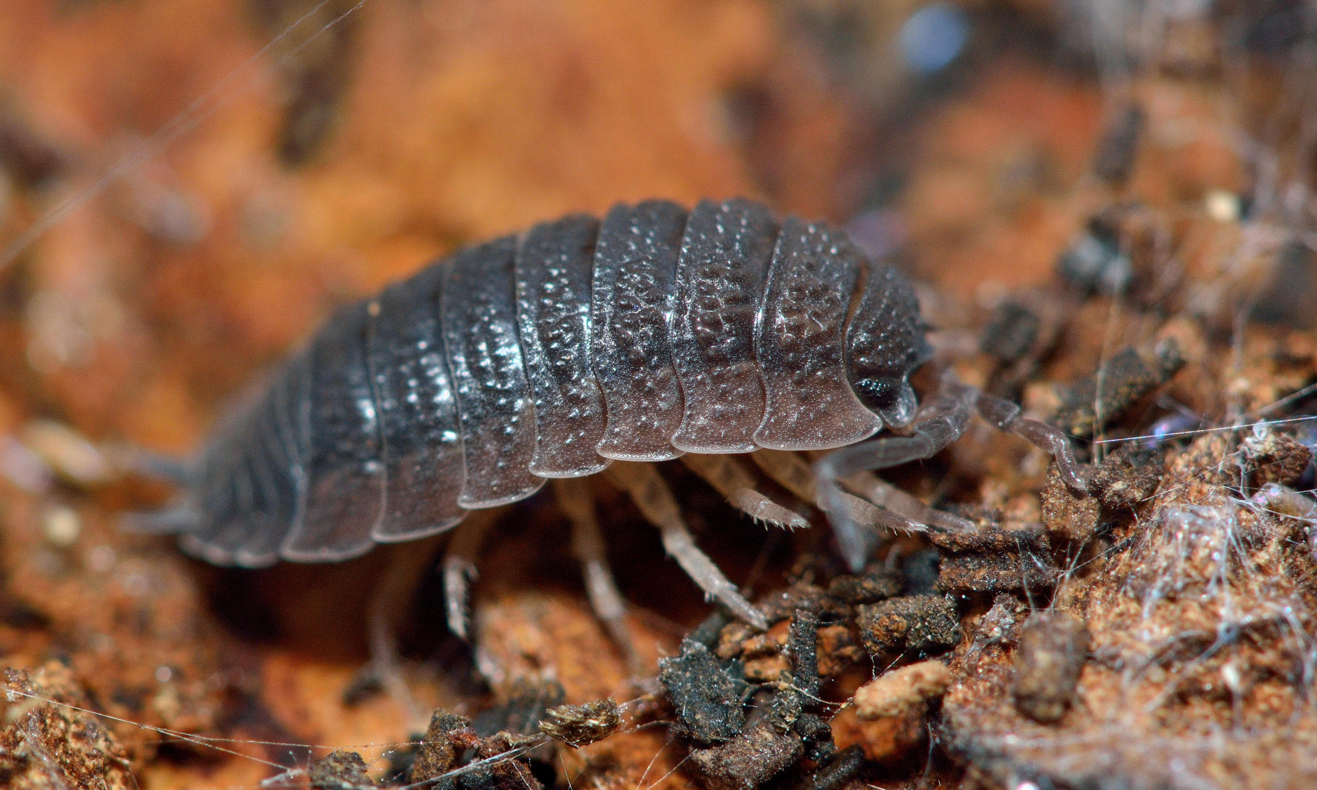 Specieswatch: how woodlice are an early warning system for a damp problem