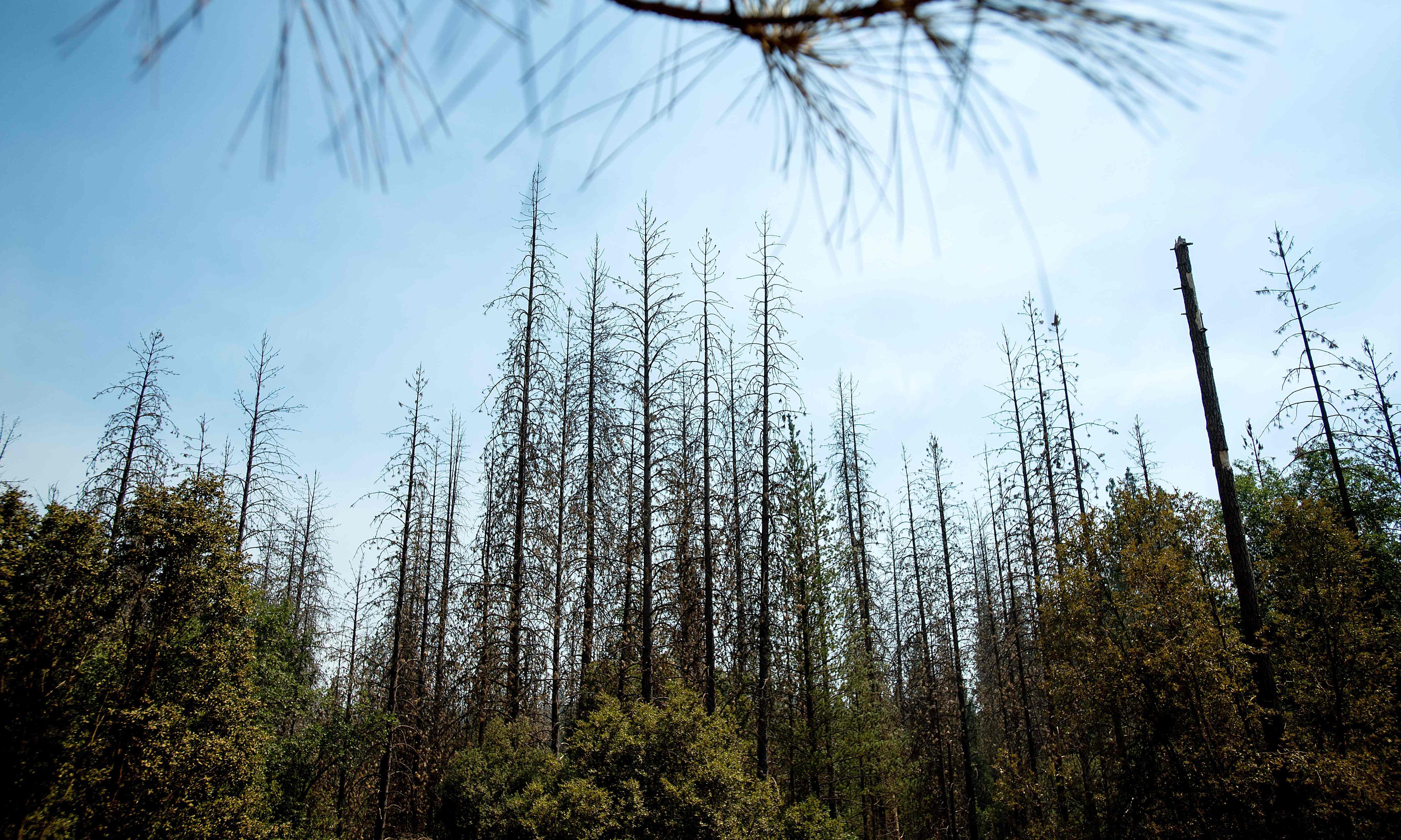 Tree-damaging pests pose 'devastating' threat to 40% of US forests