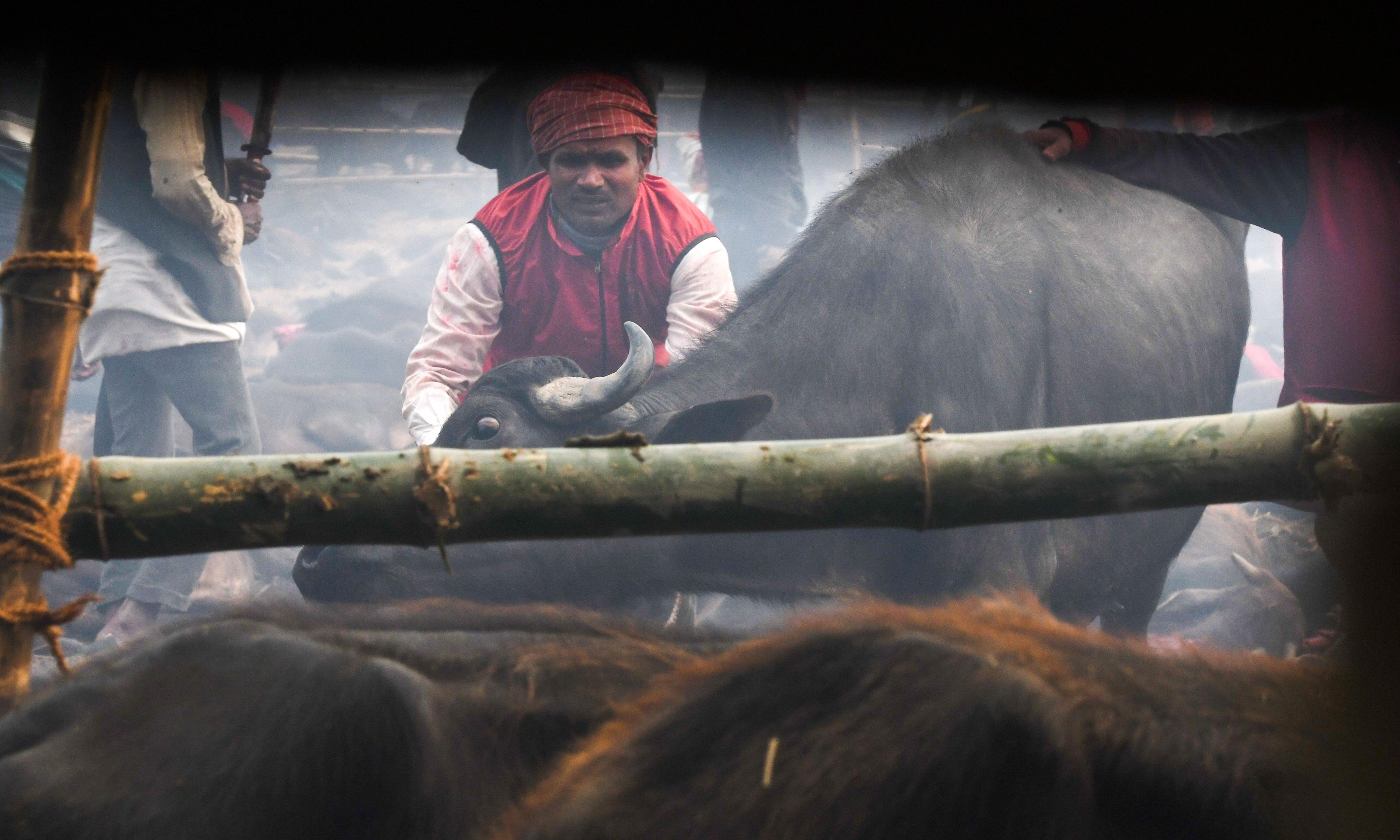World's 'largest animal sacrifice' starts in Nepal after ban ignored