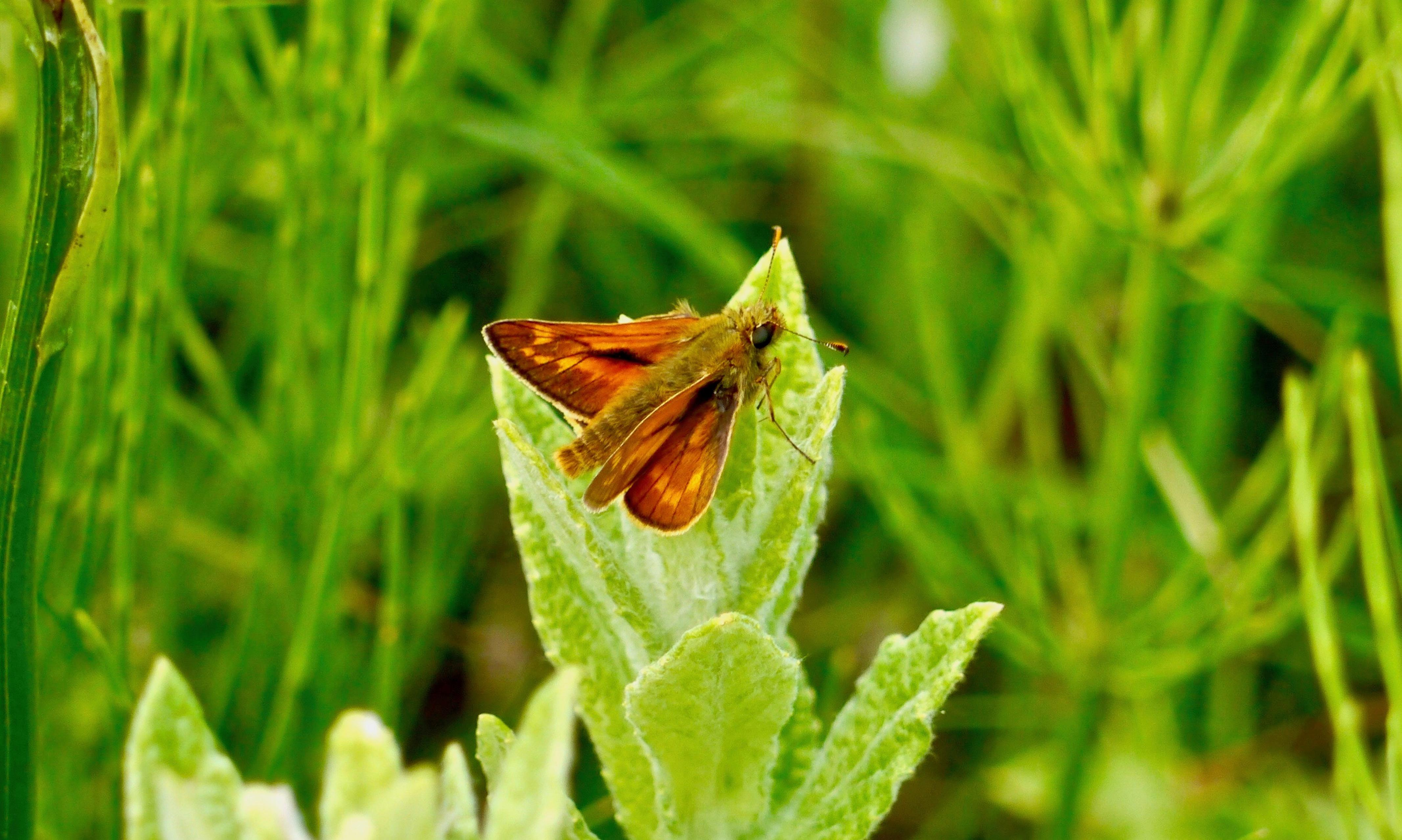Country diary: July light turns the skipper's wings into flakes of gold