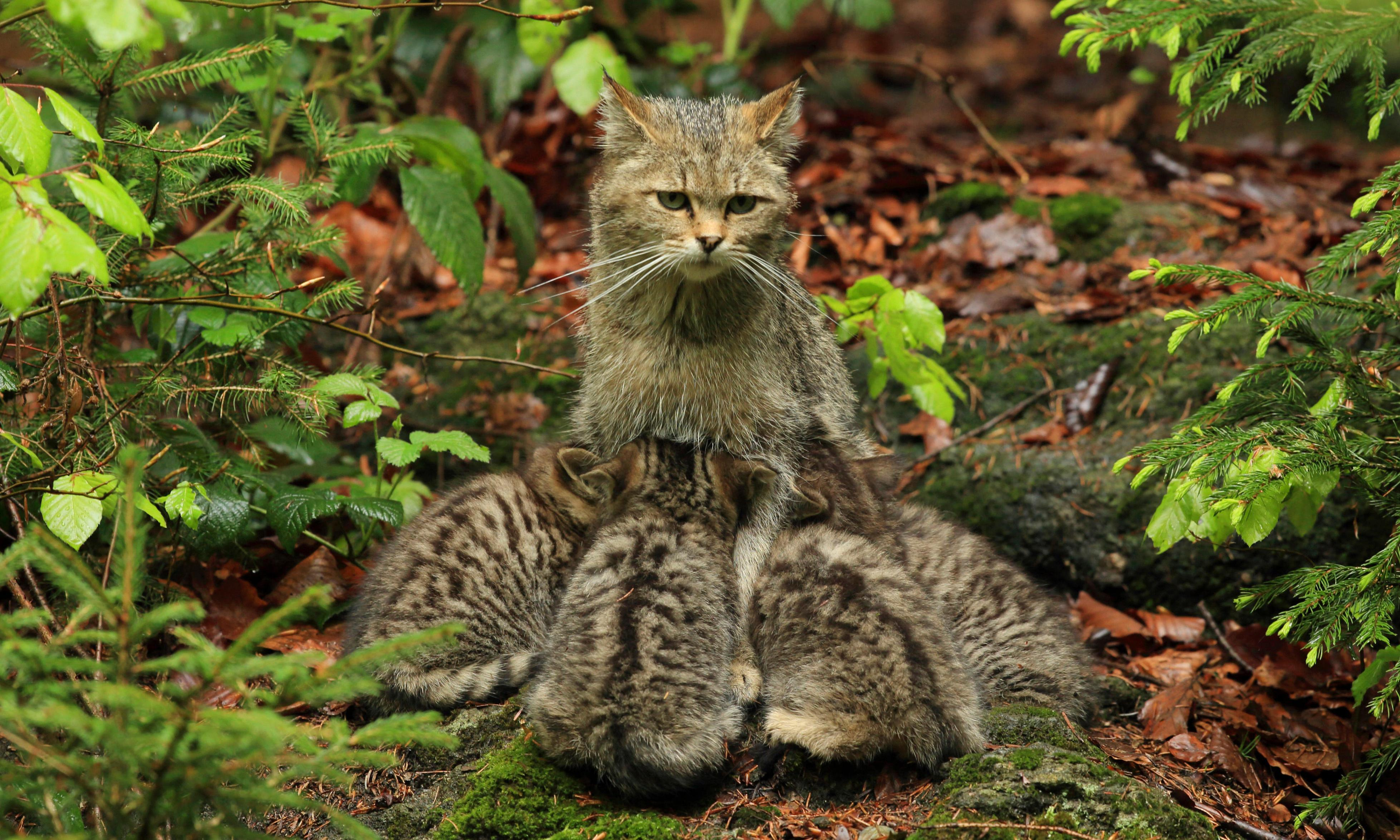 How wildcats will be reared for release in England and Wales
