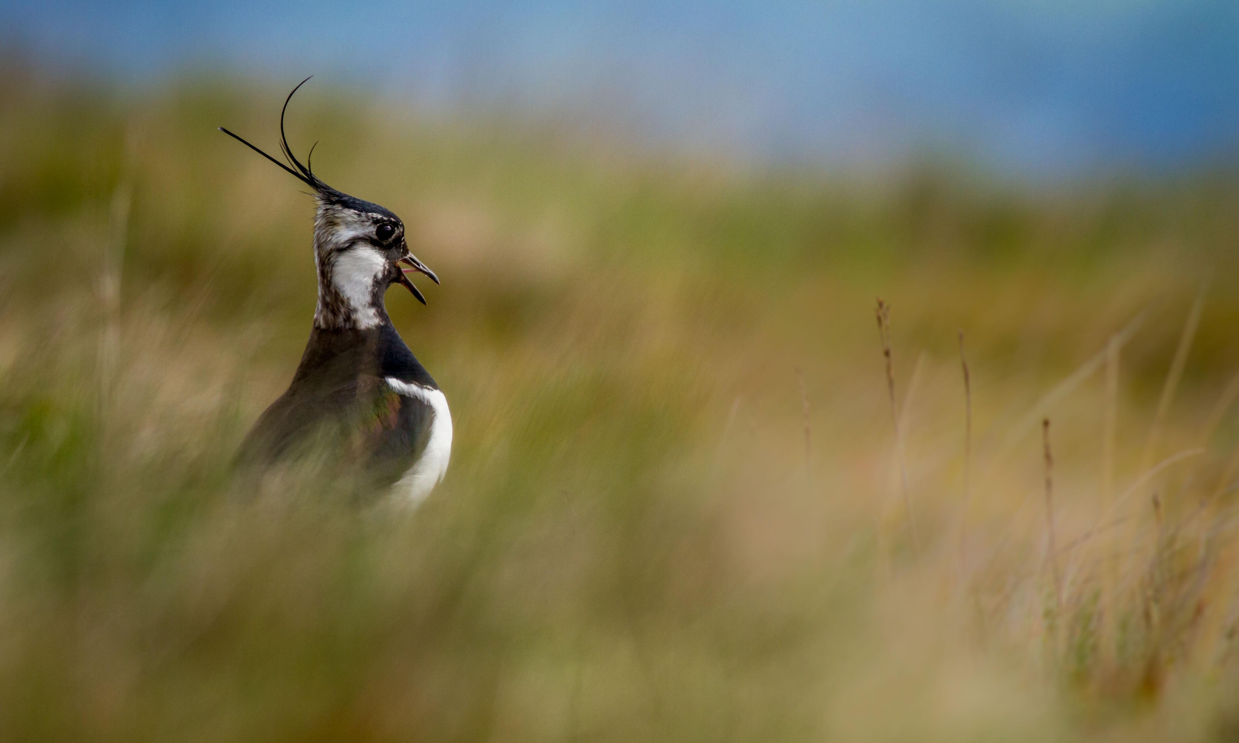 Lapwing courtship now in full swing- Country diary archive, 21 March 1919