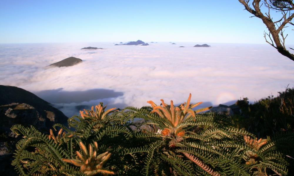 Banksia montana pictured above the clouds, before the fires wiped out all the adult plants.