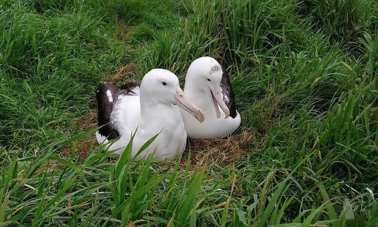 'Amused us for years': Rob the unappealing albatross finally finds a mate