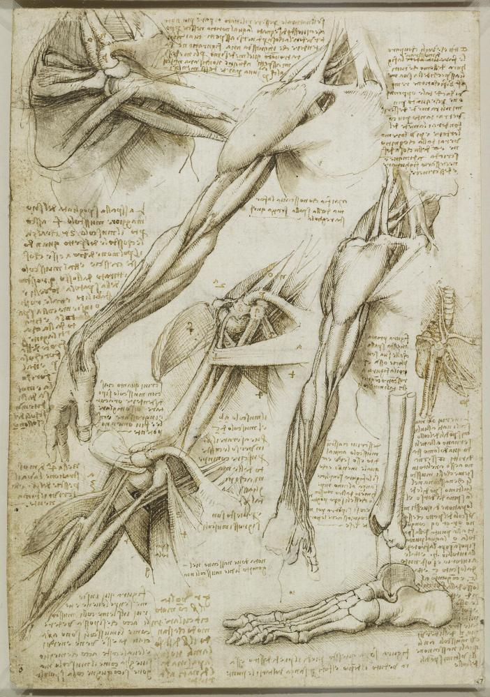 'It's in his notebooks Leonardo truly soars' … drawings of muscles of the shoulder and arm, circa 1511.