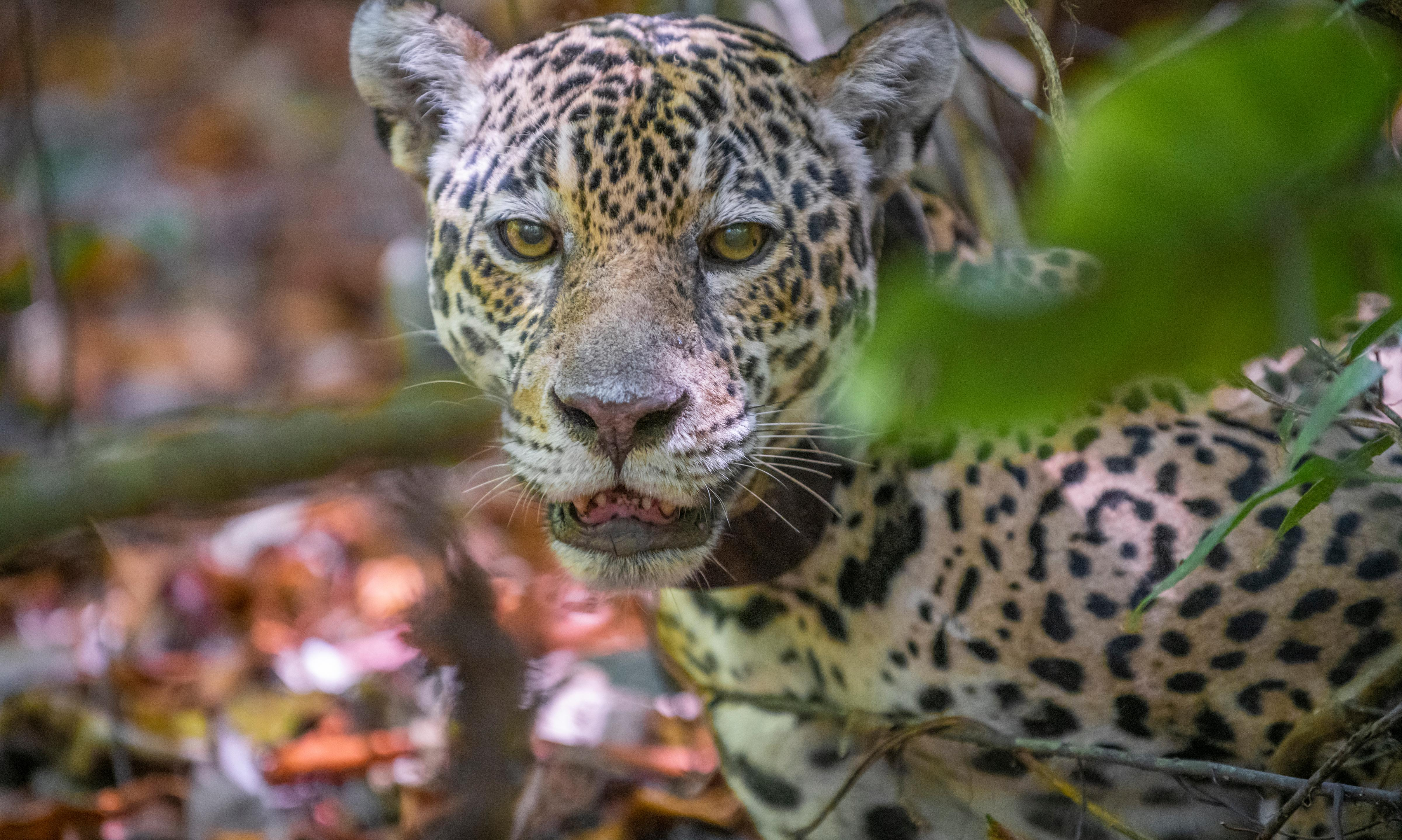 The jaguars fishing in the sea to survive