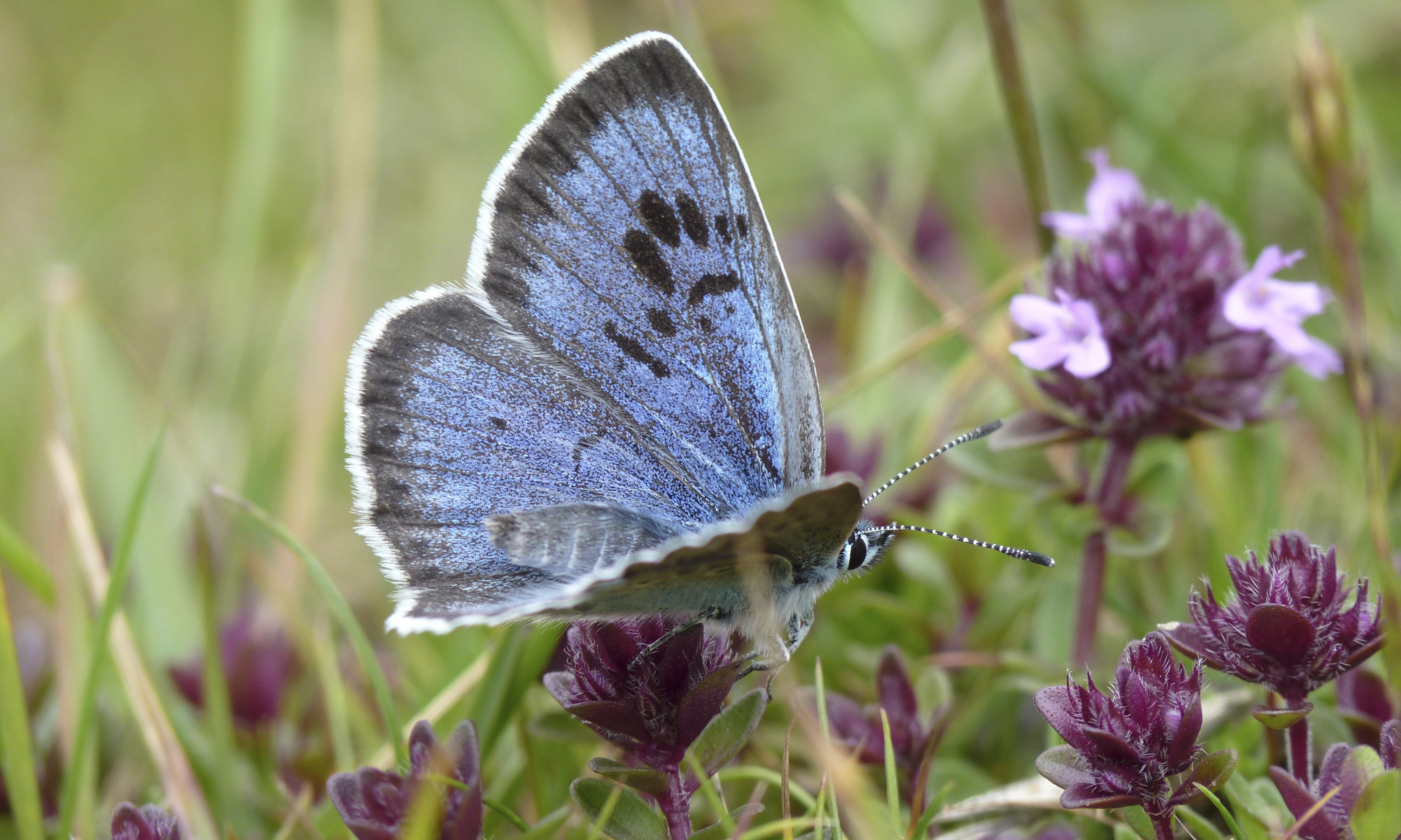 Rare UK butterflies enjoy best year since monitoring began