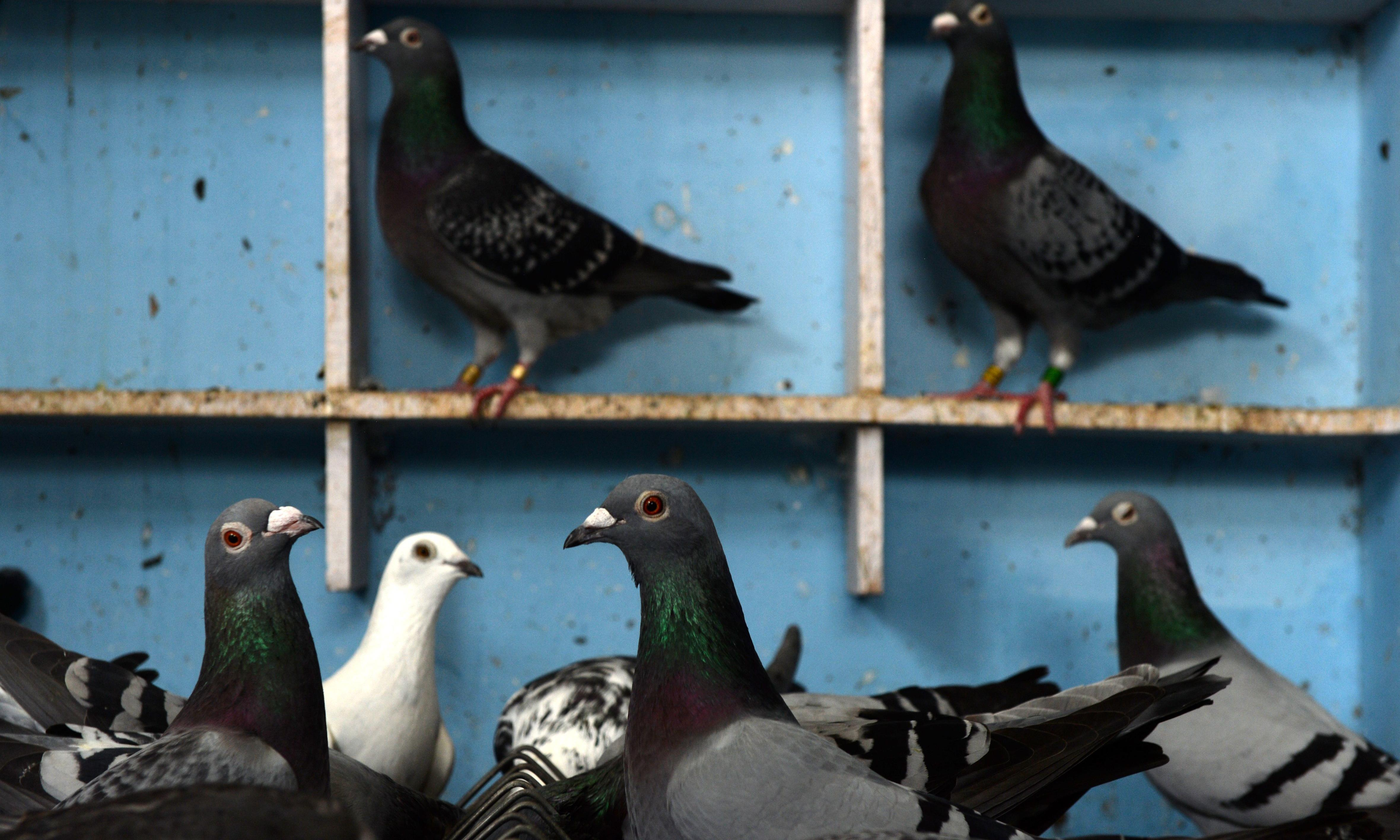 'Lewis Hamilton of pigeons' sold for world record €1.25m