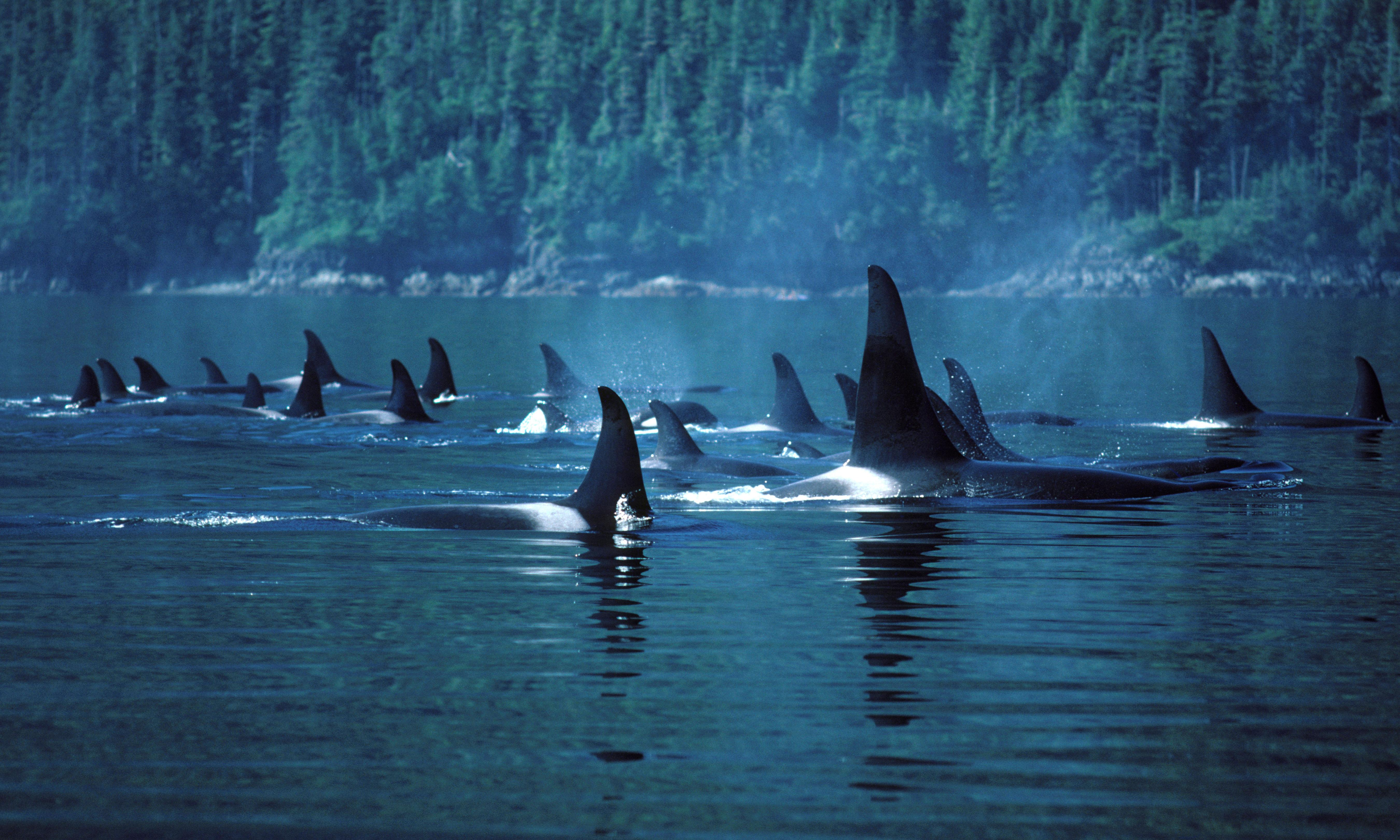 Canada: endangered orca pod produces its first calf in three years