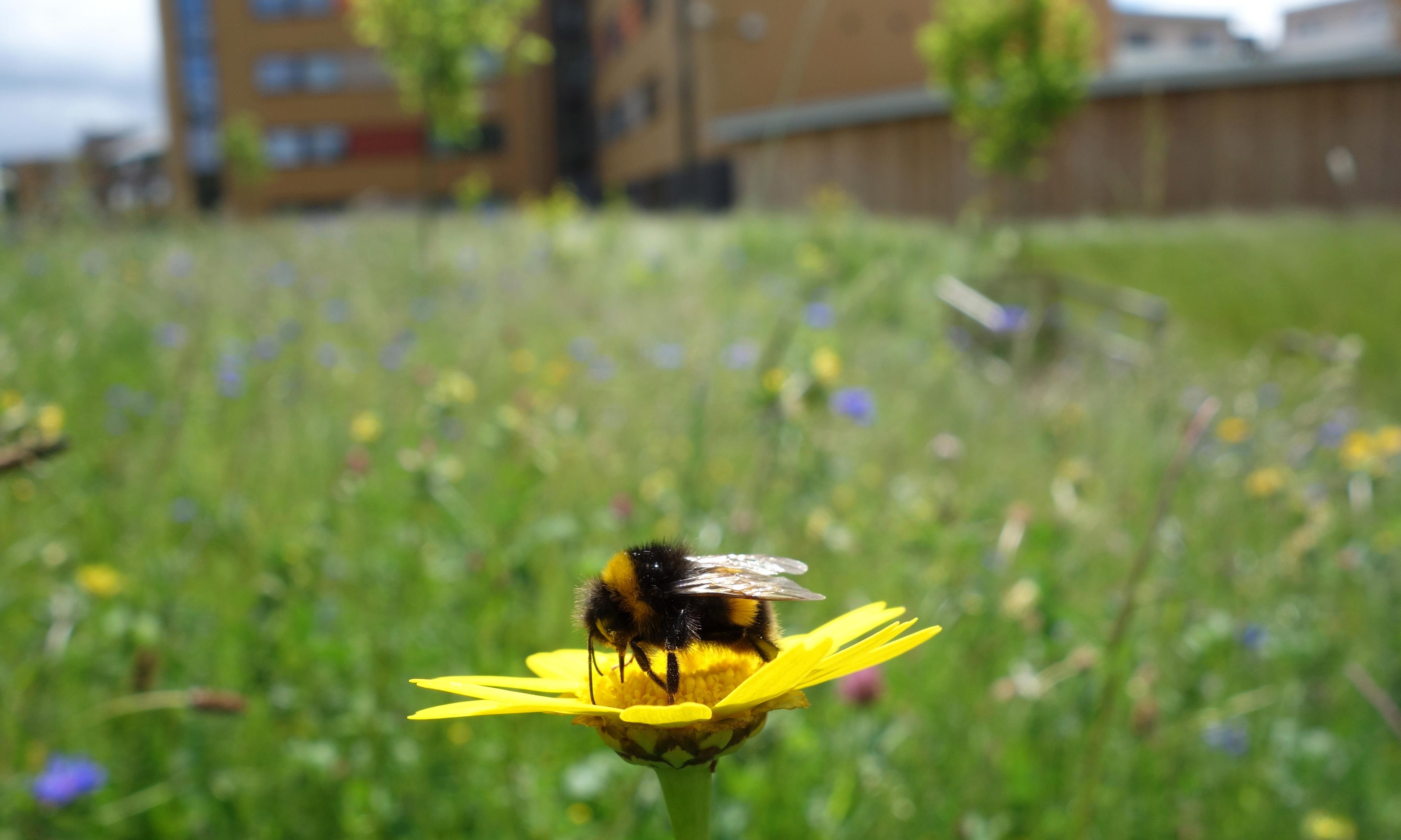City bees: allotments and gardens can help arrest decline – study