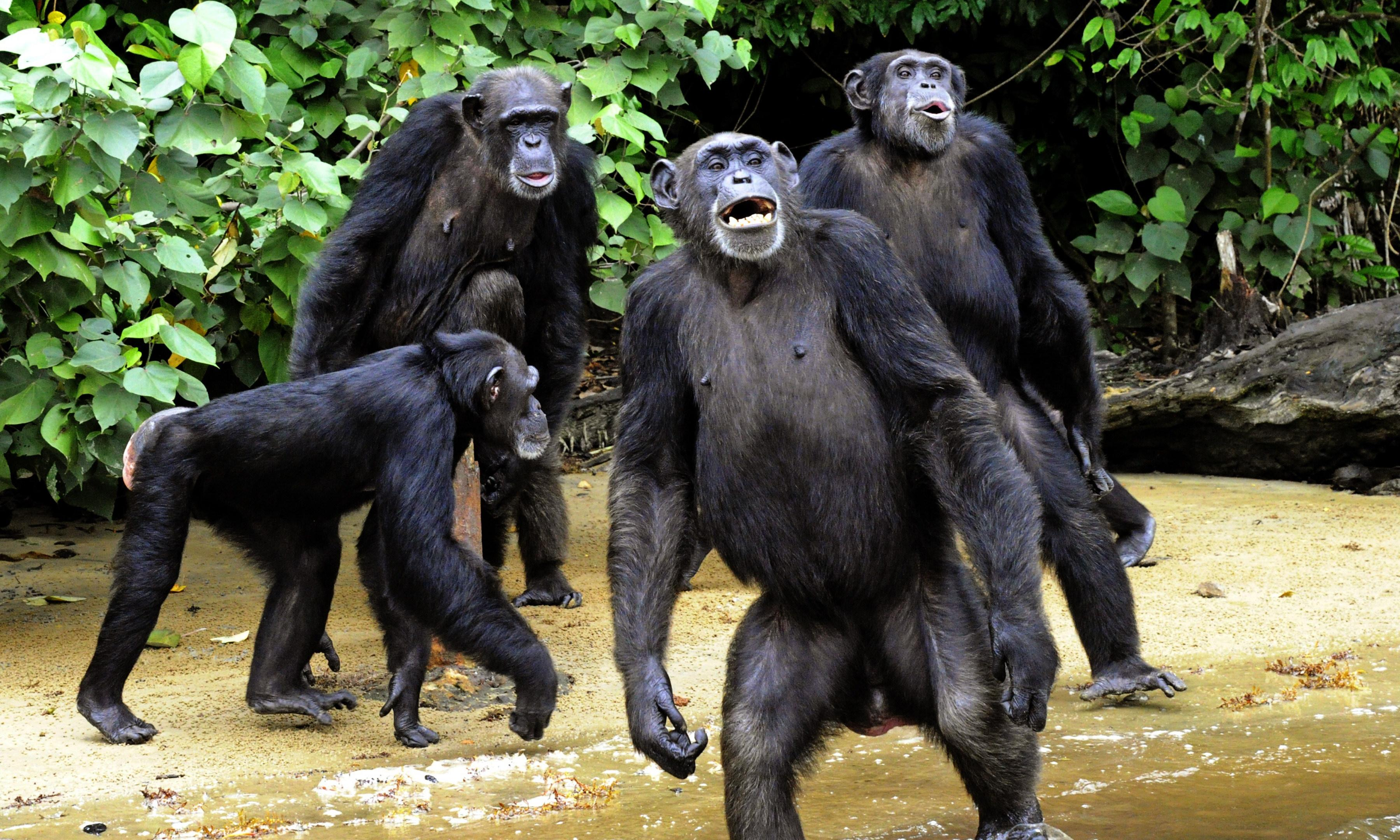 Chimps go ape for cinema: is this the beginning of the end for mankind?