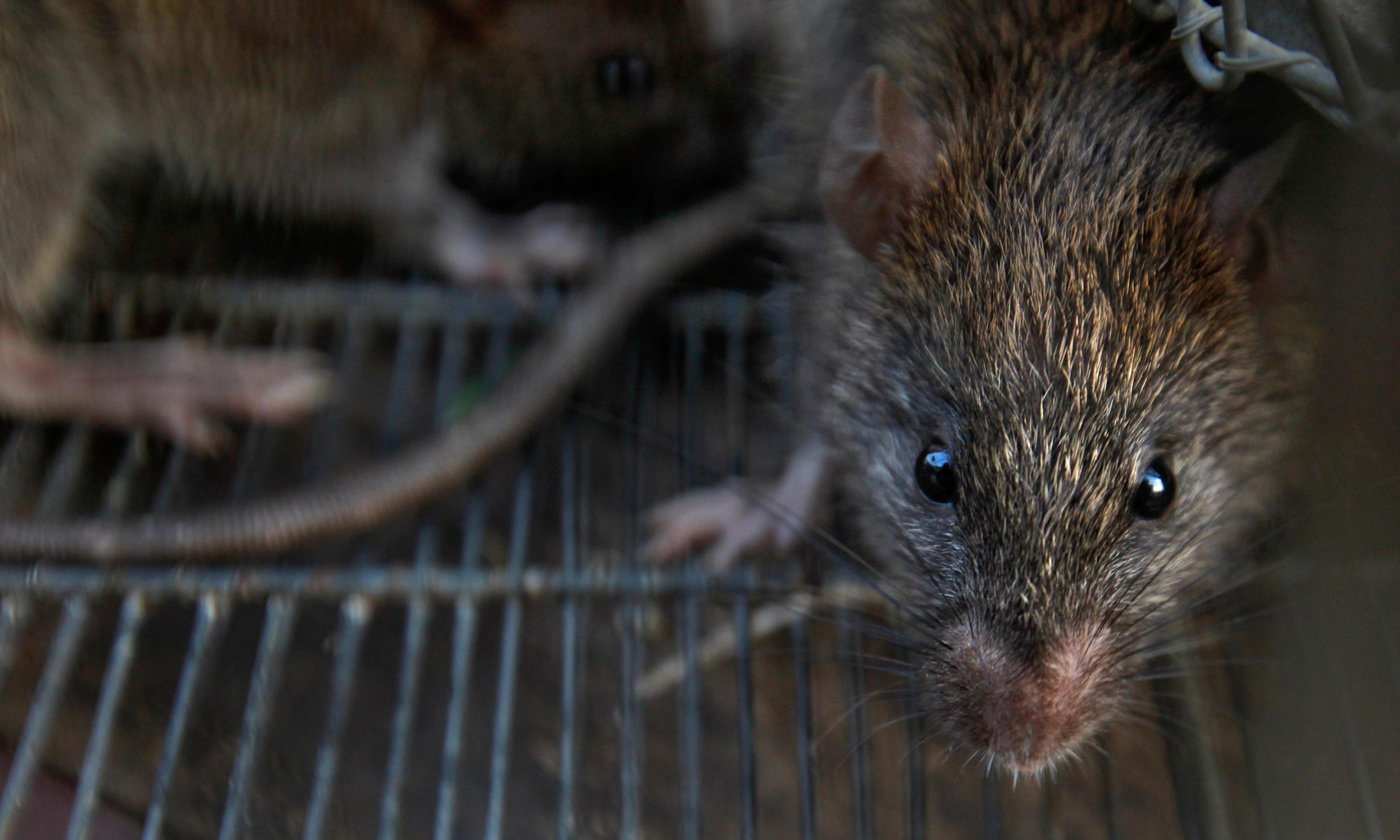 Hepatitis strain carried by rats makes leap to humans in Hong Kong