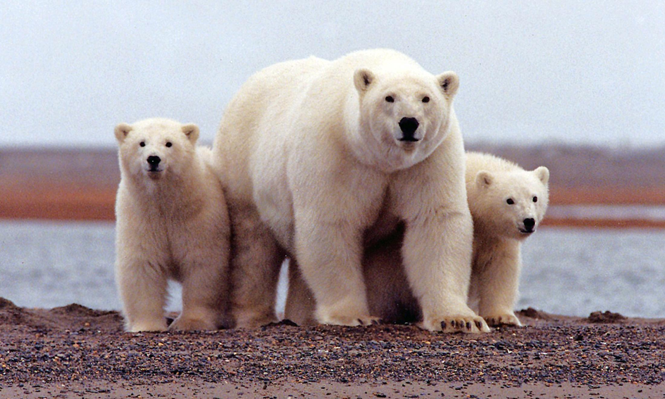 Trump opens protected Alaskan Arctic refuge to oil drillers
