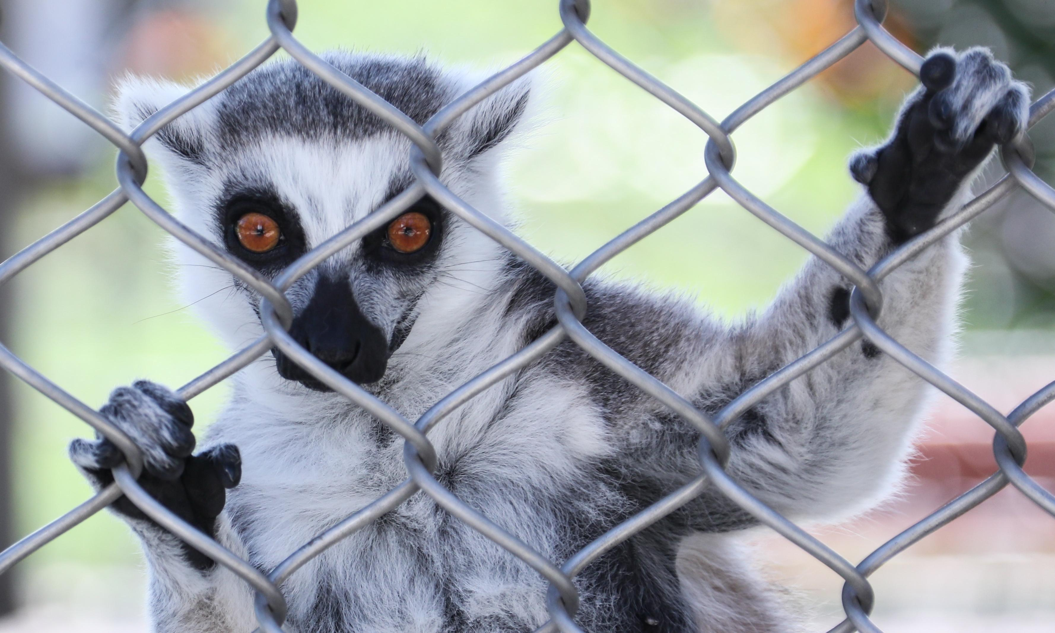 Case of the stolen lemur: man who took animal from US zoo wanted a monkey