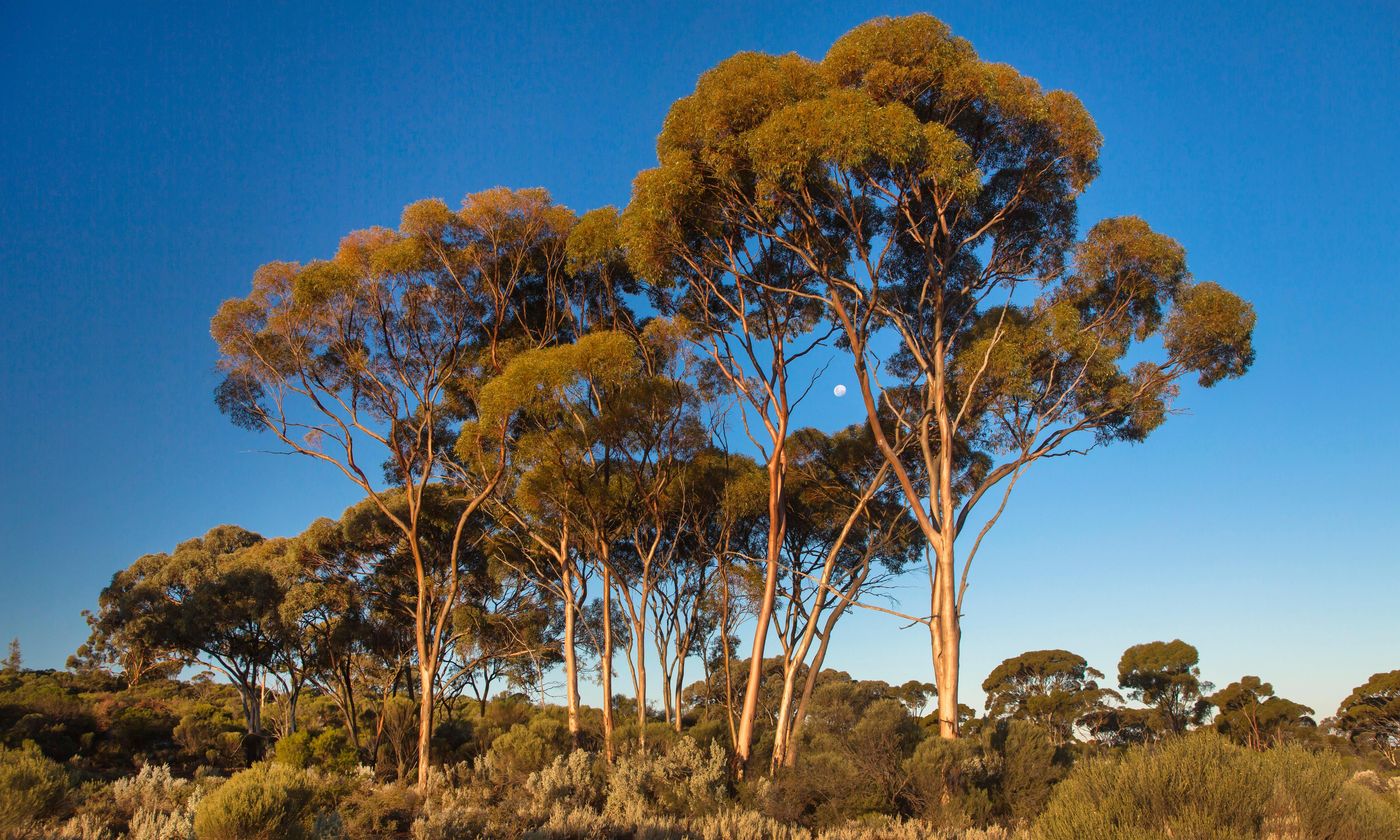 'They define the continent': nearly 150 eucalypt species recommended for threatened list