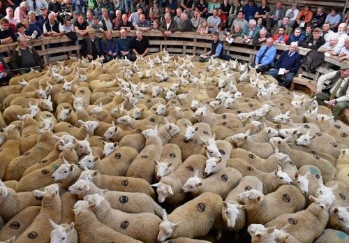Farmers gather at Lairg auction for the annual lamb sale. This is the biggest one day livestock market in Europe, where some 20,000 sheep from all over the north of Scotland are bought and sold