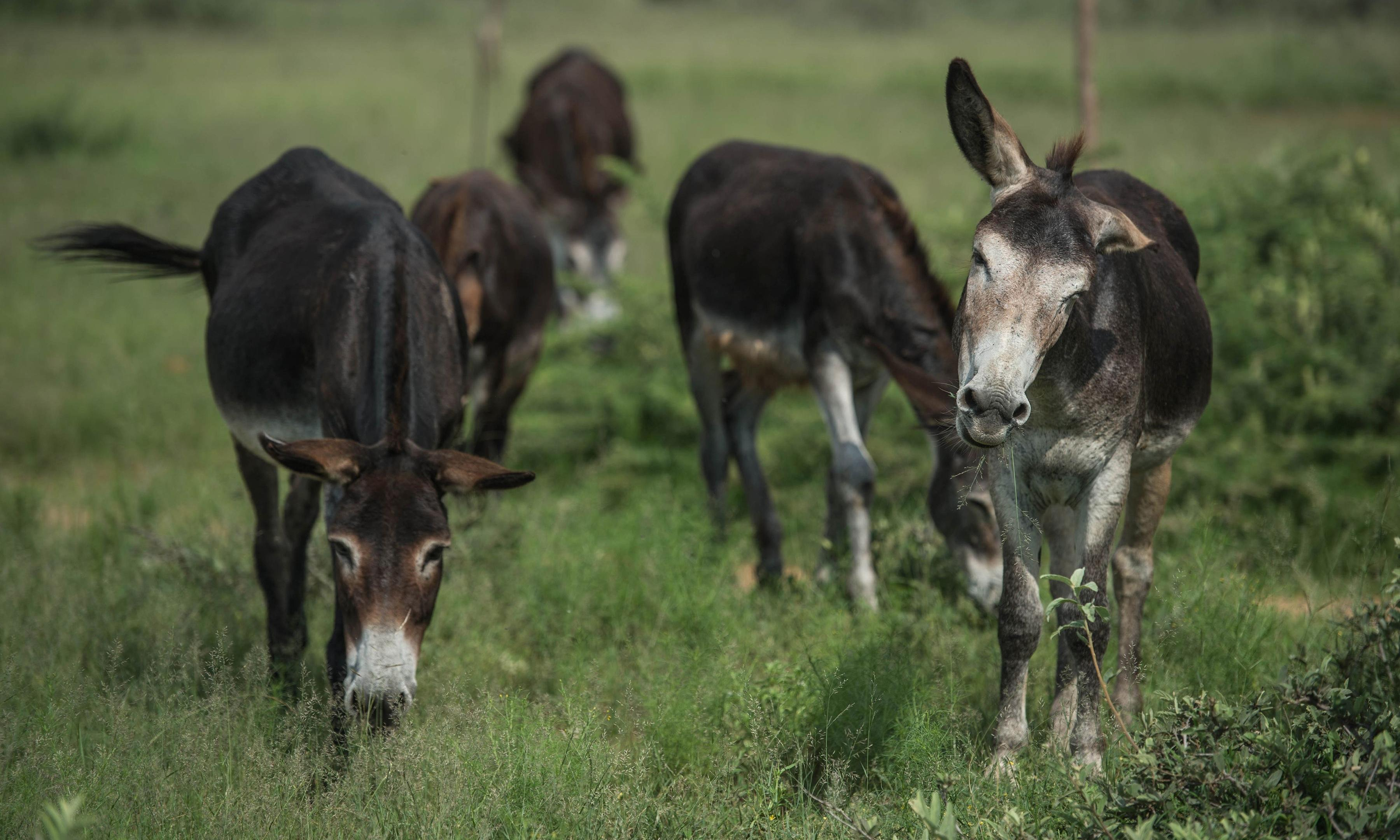World's donkeys being 'decimated' by demand for Chinese medicine