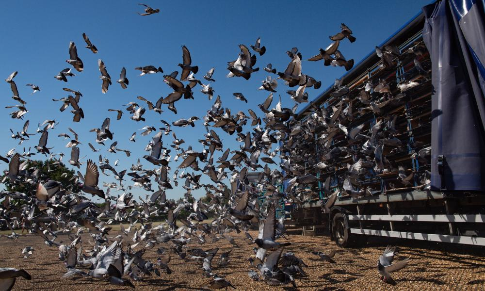 4,465 pigeons belonging to members of the Barnsley Federation of Racing Pigeons are released at Wicksteed Park in Kettering, Northamptonshire, as pigeon racing is the first spectator sport to return following the easing of lockdown restrictions in England.