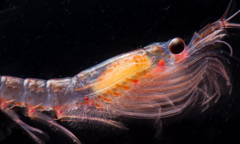 A living antarctic krill Euphausia superba