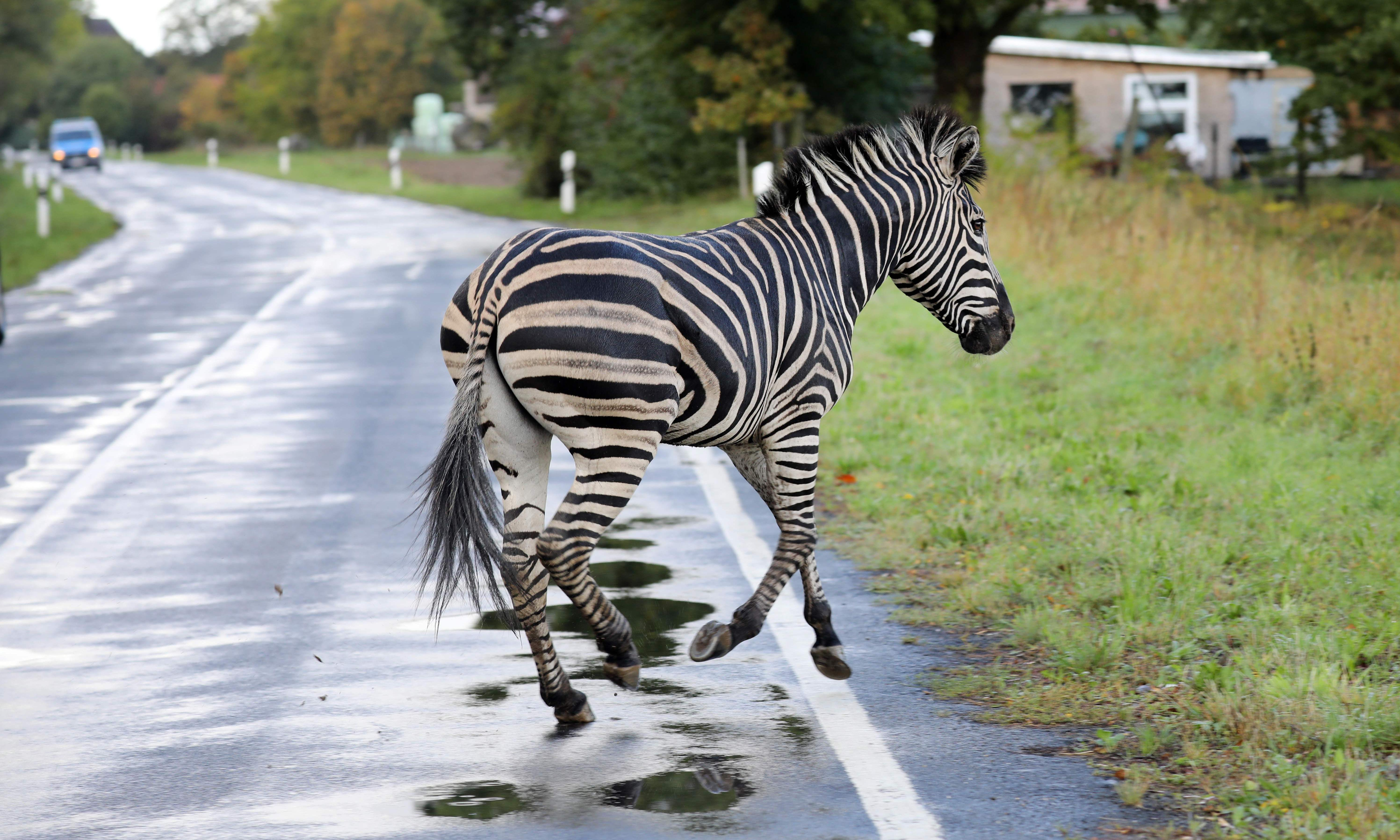 Anger as zebra shot dead in Germany after circus escape