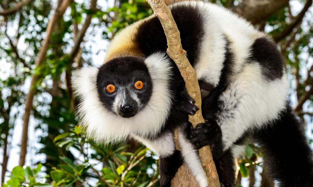 DNA of black and white ruffed lemurs dominated at Hamerton Zoo Park.