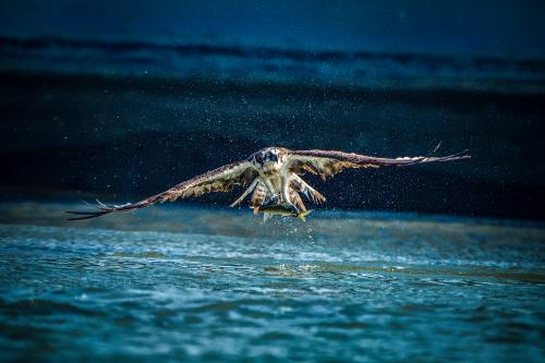 Beads of water stream from an osprey's wings in a photograph taken a split second after the bird swooped to snatch a fish from the Onga river in Fukuoka prefecture