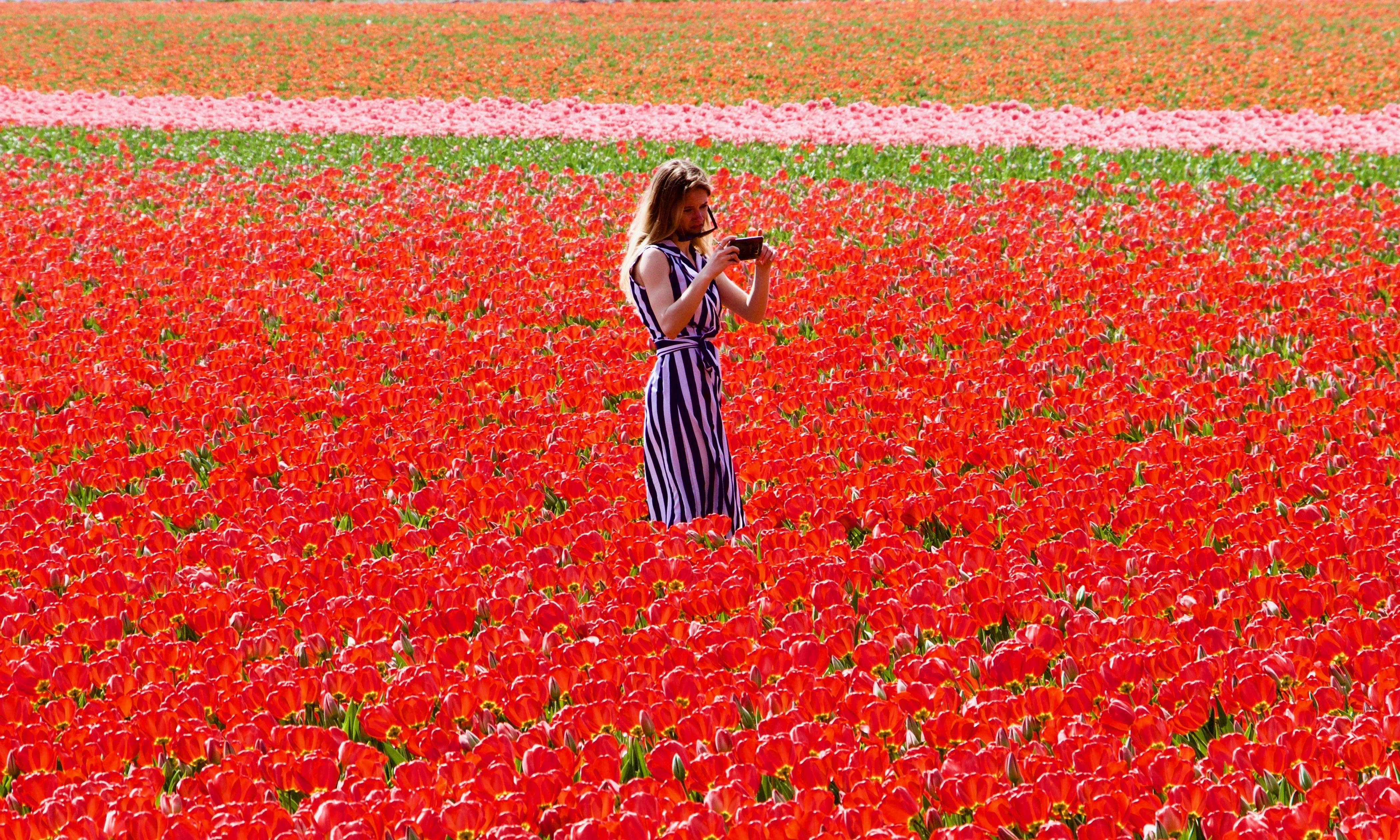 Dutch fence off tulip fields to stop selfie-takers crushing flowers