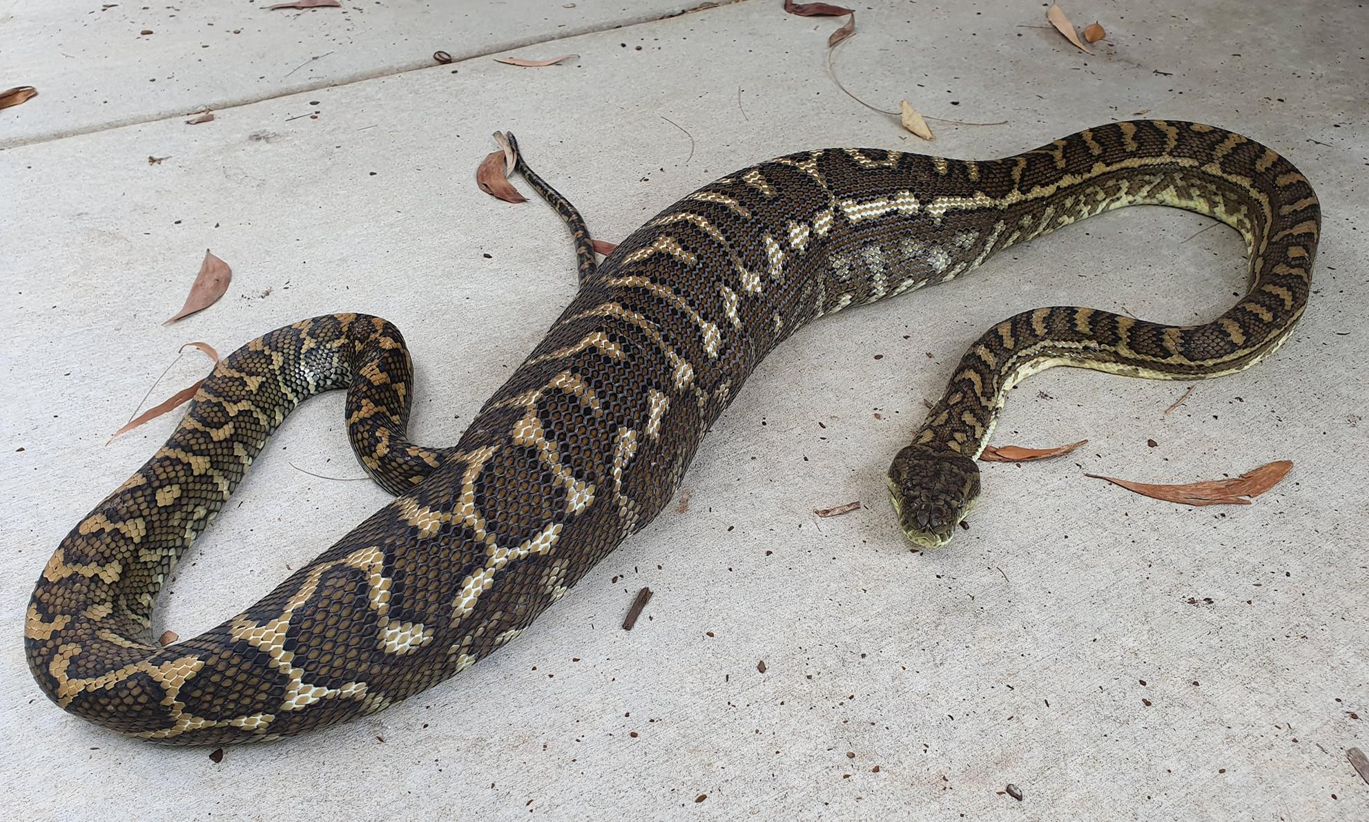 Python swallows family's pet cat whole in Queensland