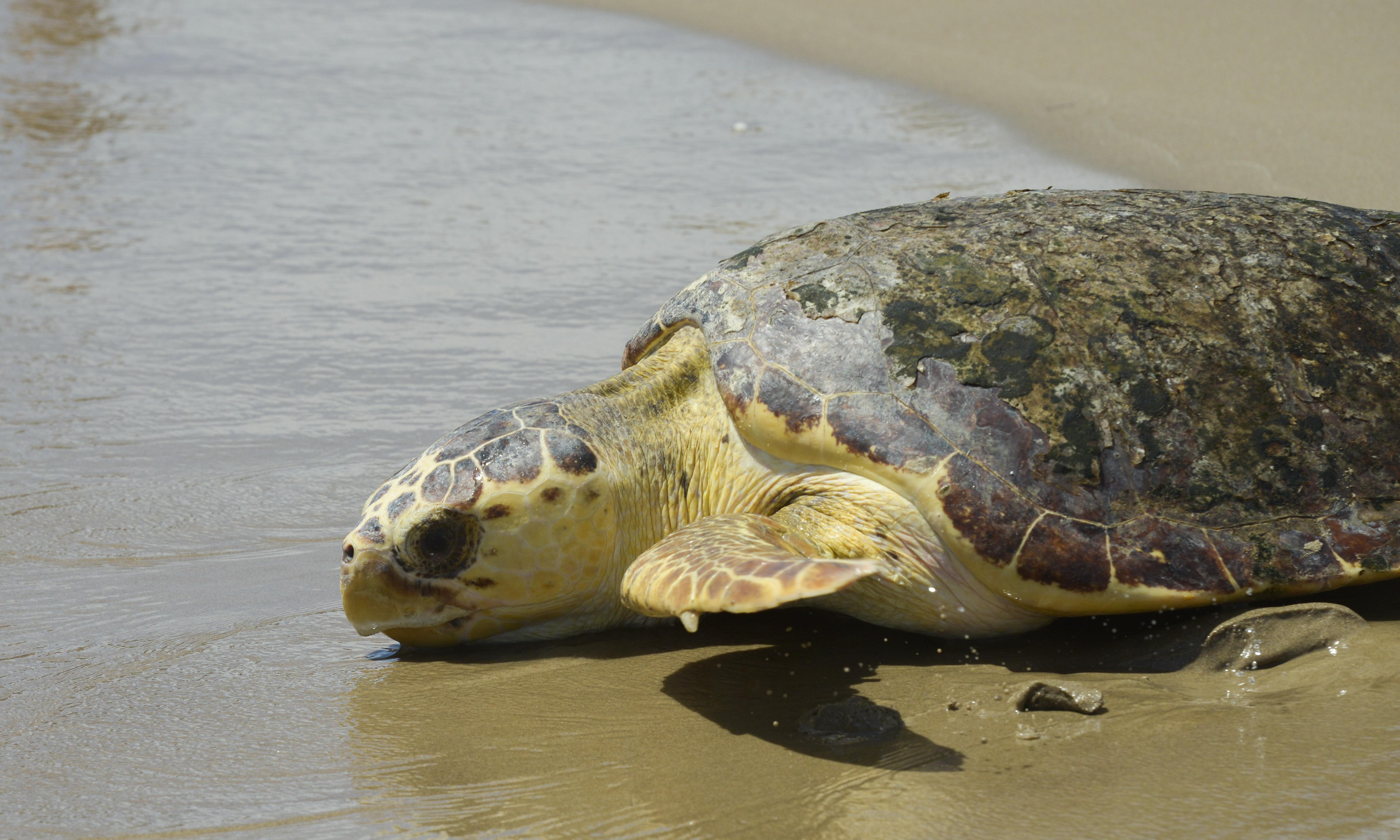Sea turtles at risk as Trump weakens protections of animals endangered by climate crisis