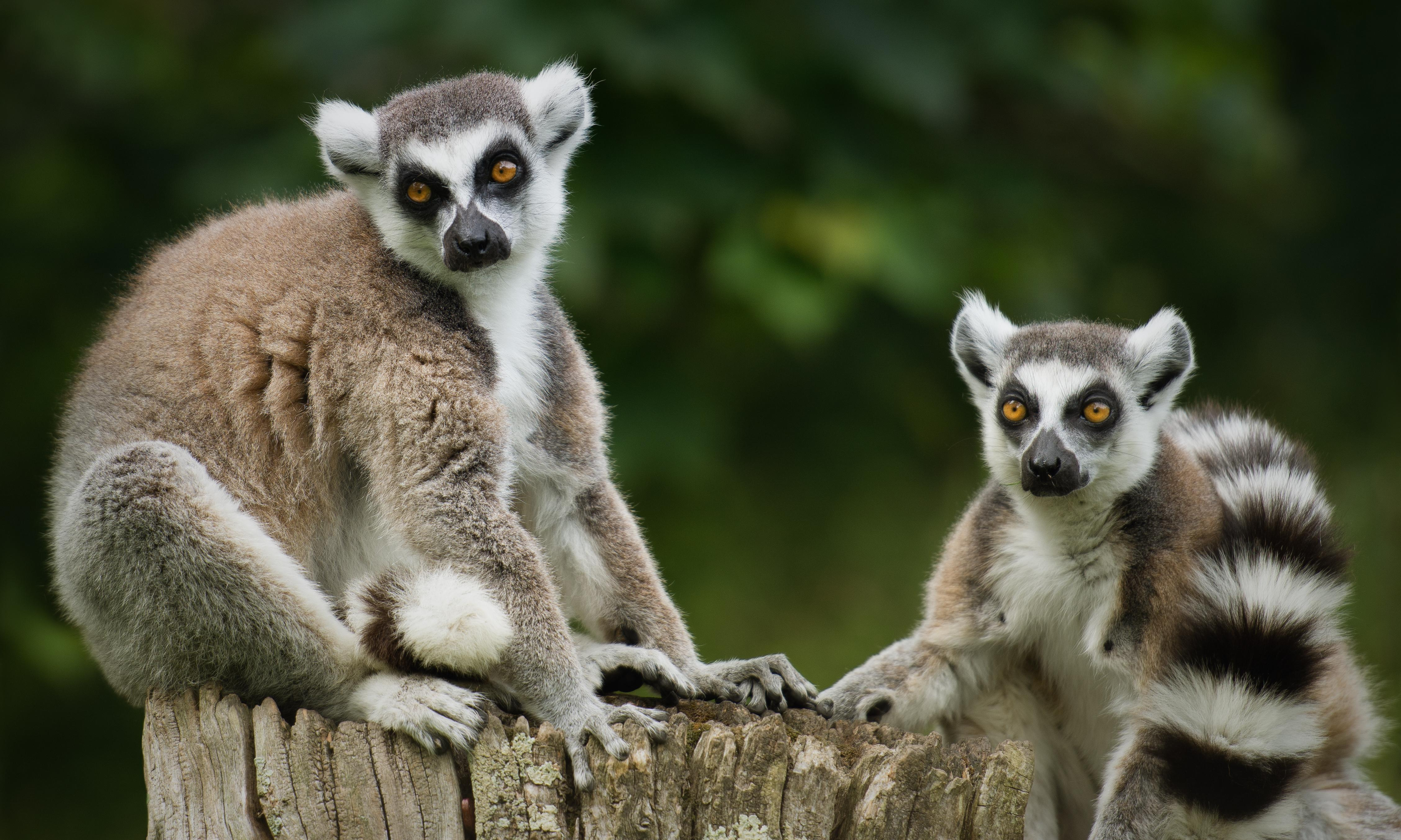 Teenager admits to stealing geriatric lemur from a California zoo