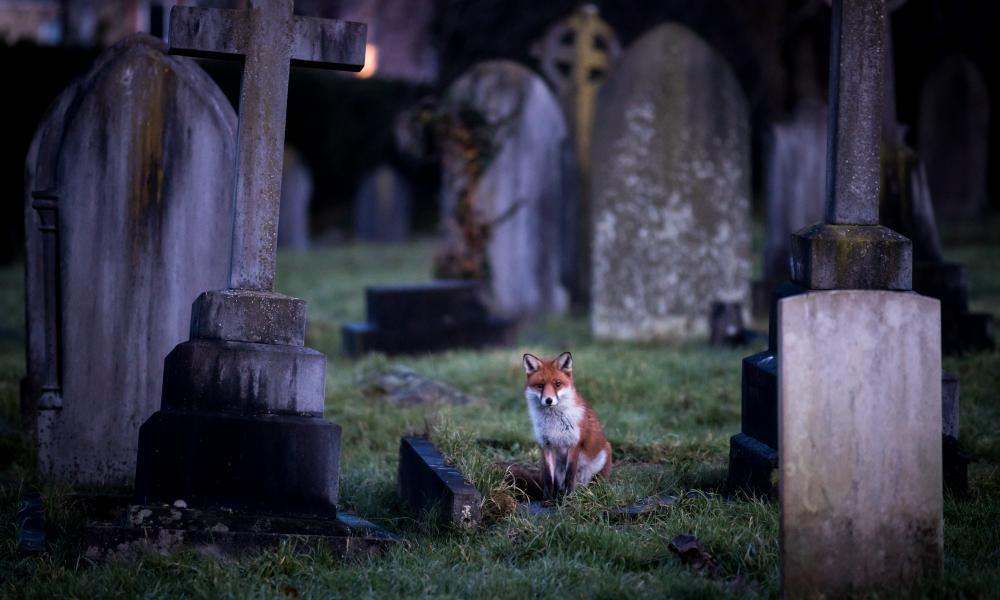 A fox in a cemetery at dusk in Bath, England