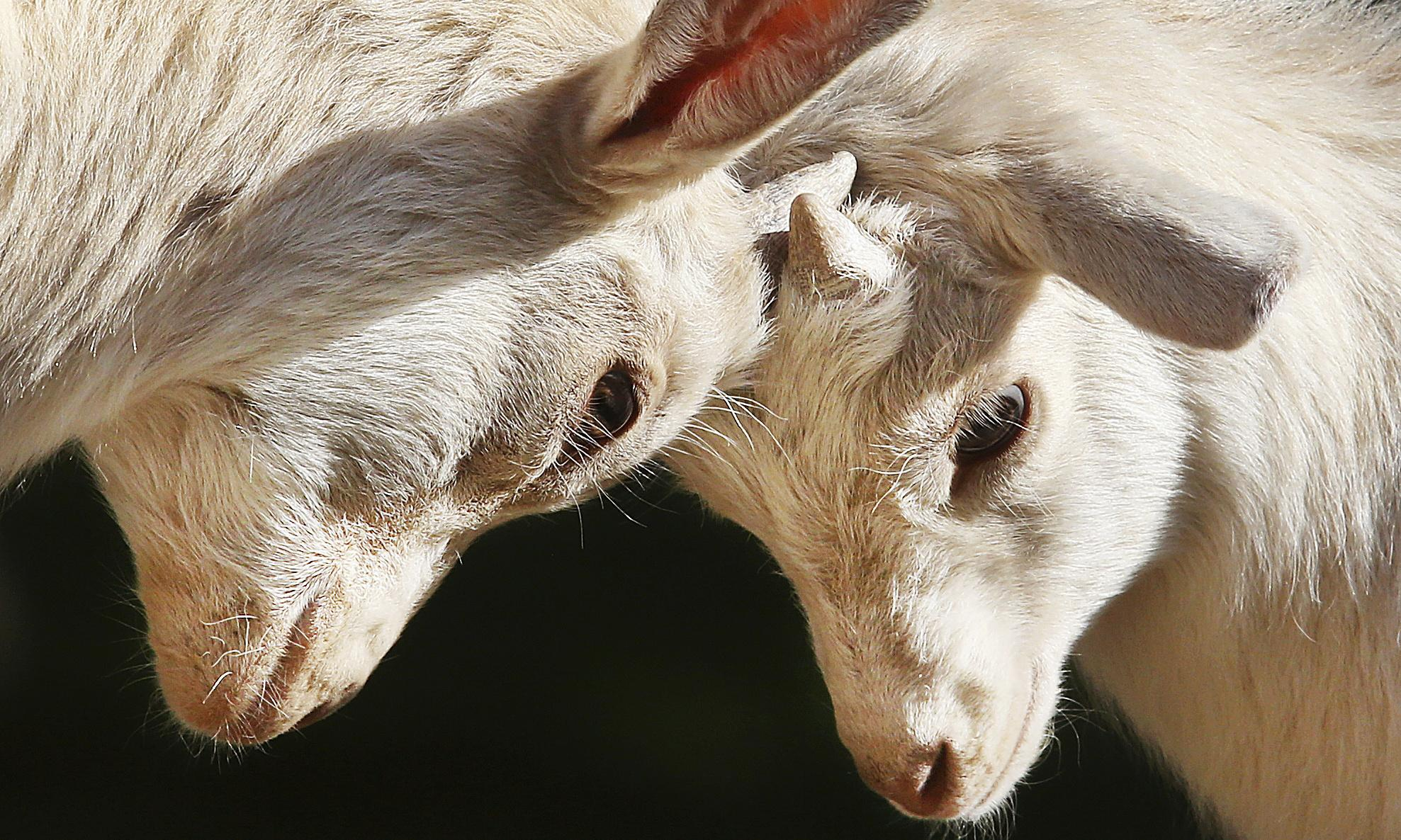 Goats can distinguish emotions from each other's calls – study