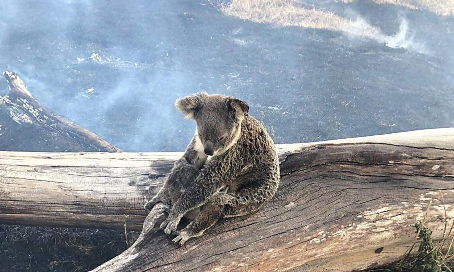 NSW fires so destructive thousands of koala bodies may never be found, ecologist says